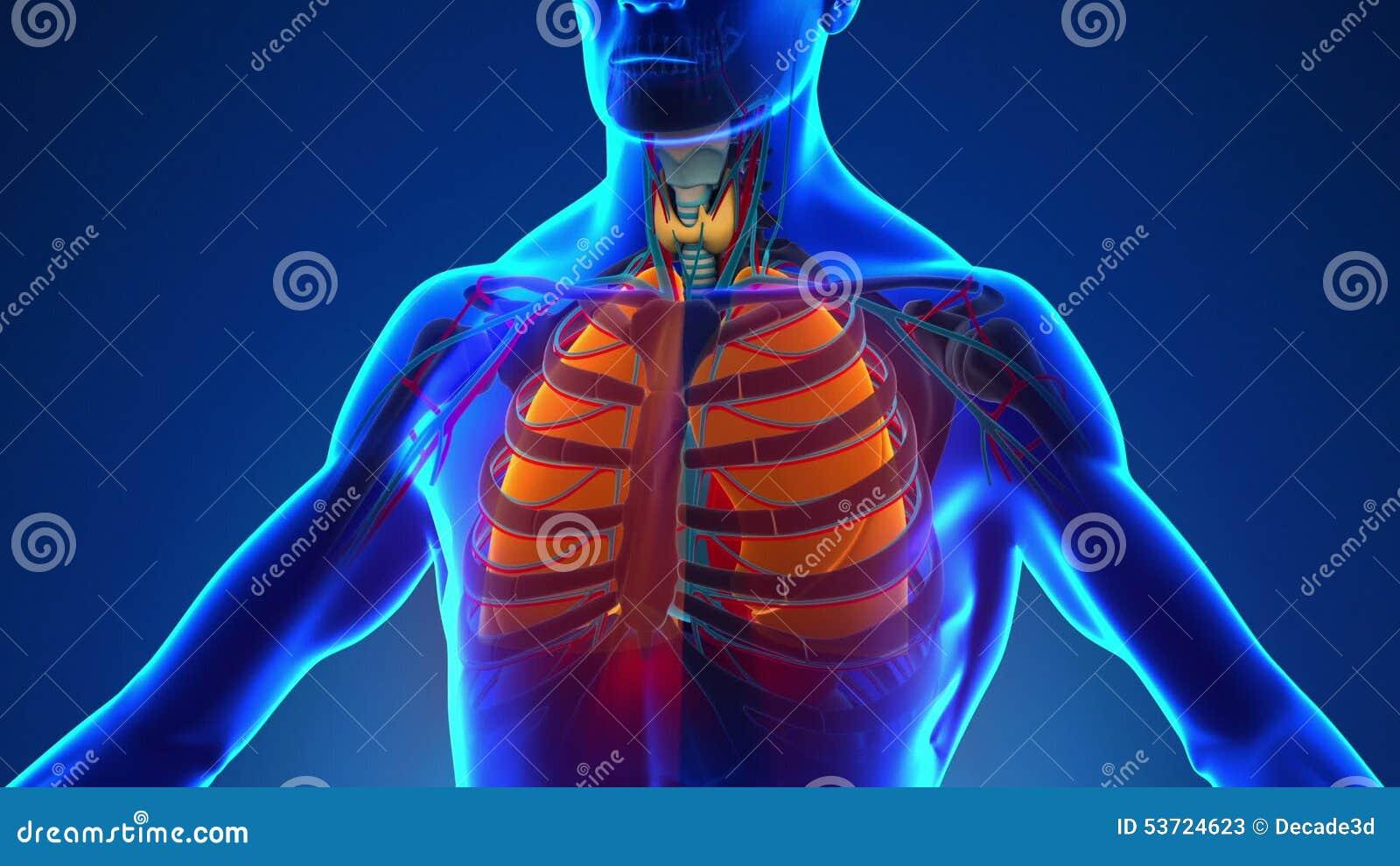 Anatomía De Pulmones Humanos - Exploración Médica De La Radiografía ...