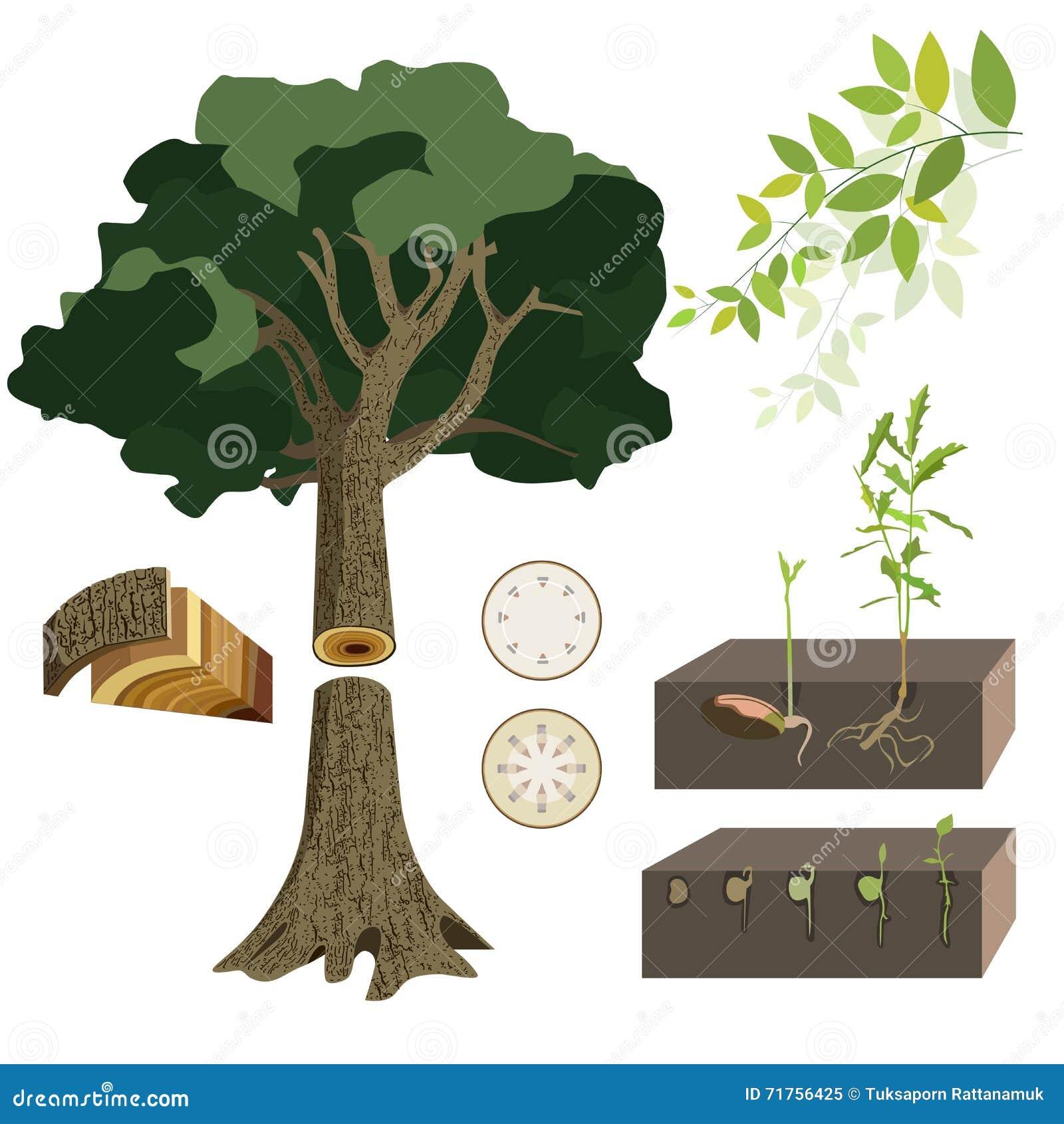 Anatomía de un árbol stock de ilustración. Ilustración de germen ...