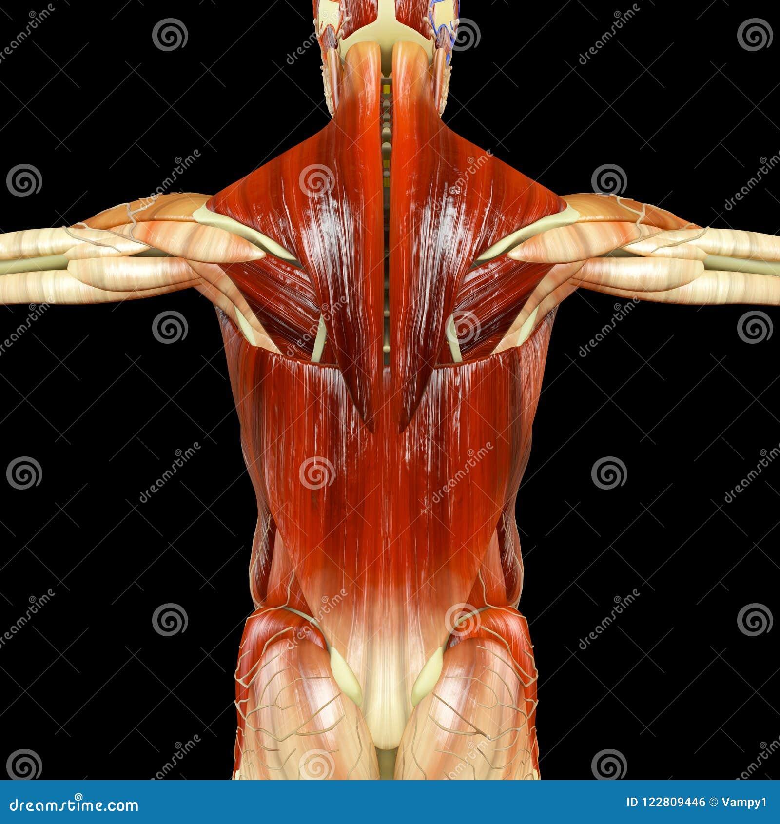 Anatomía De Un Cuerpo Humano Visto De Detrás Músculos Stock de ...
