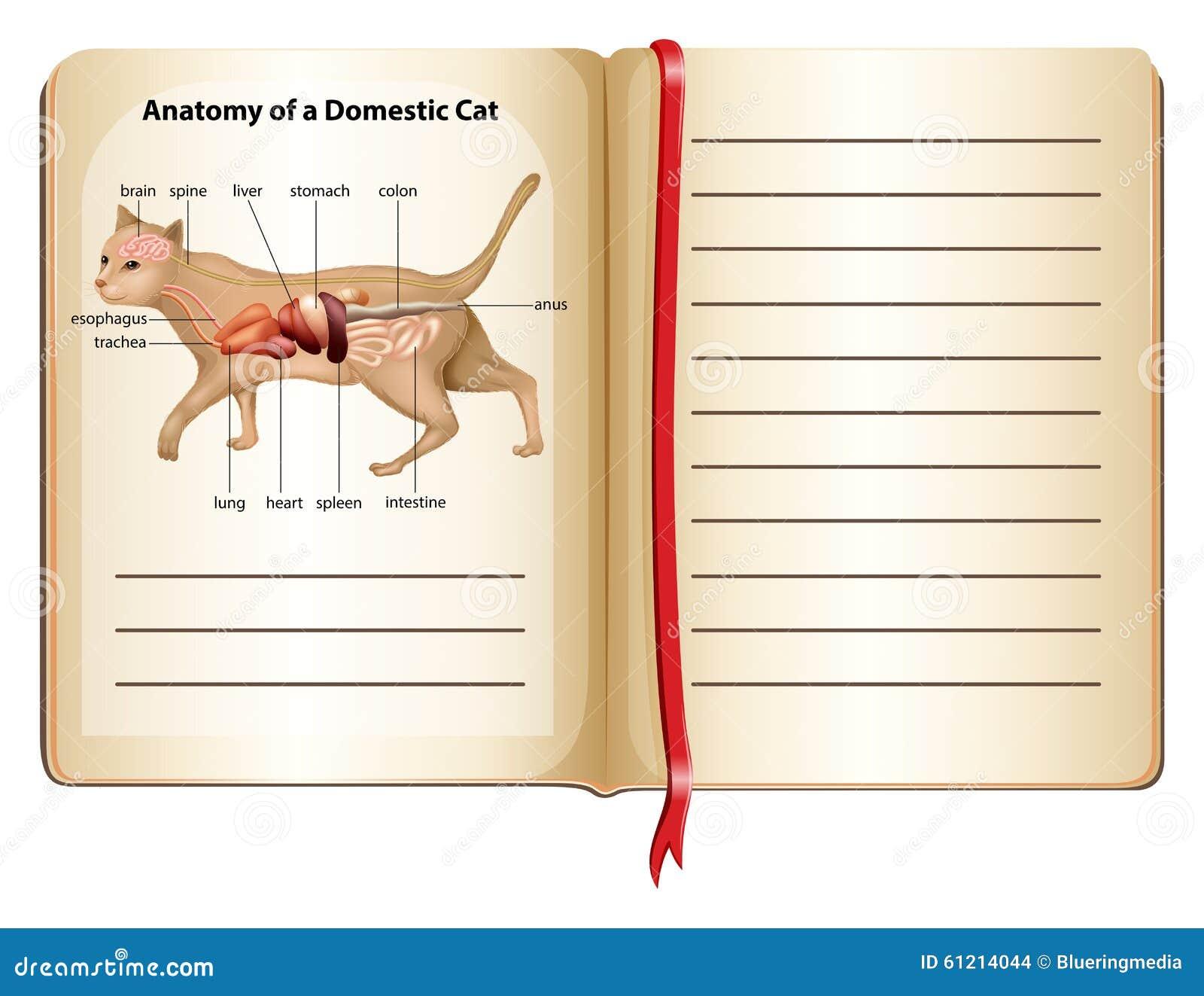 Anatomía De Un Gato Nacional Ilustración del Vector - Ilustración de ...