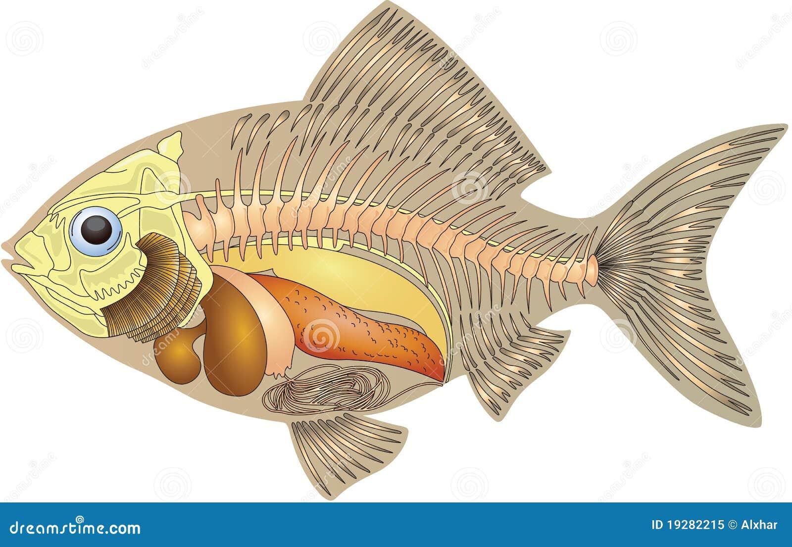 Anatomía de un pescado stock de ilustración. Ilustración de ciencia ...