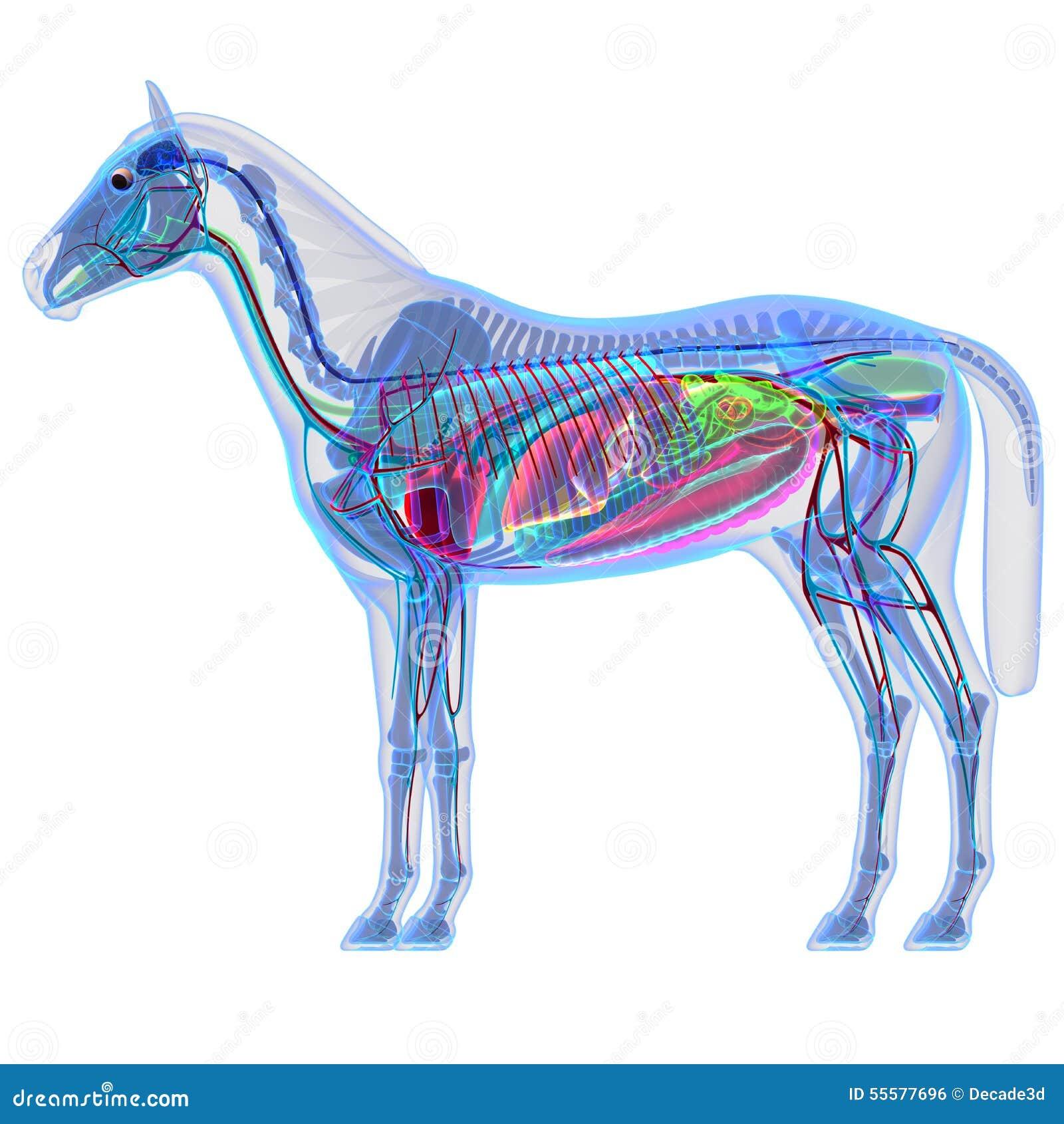 Encantador Caballo Anatomía 3d Cresta - Imágenes de Anatomía Humana ...
