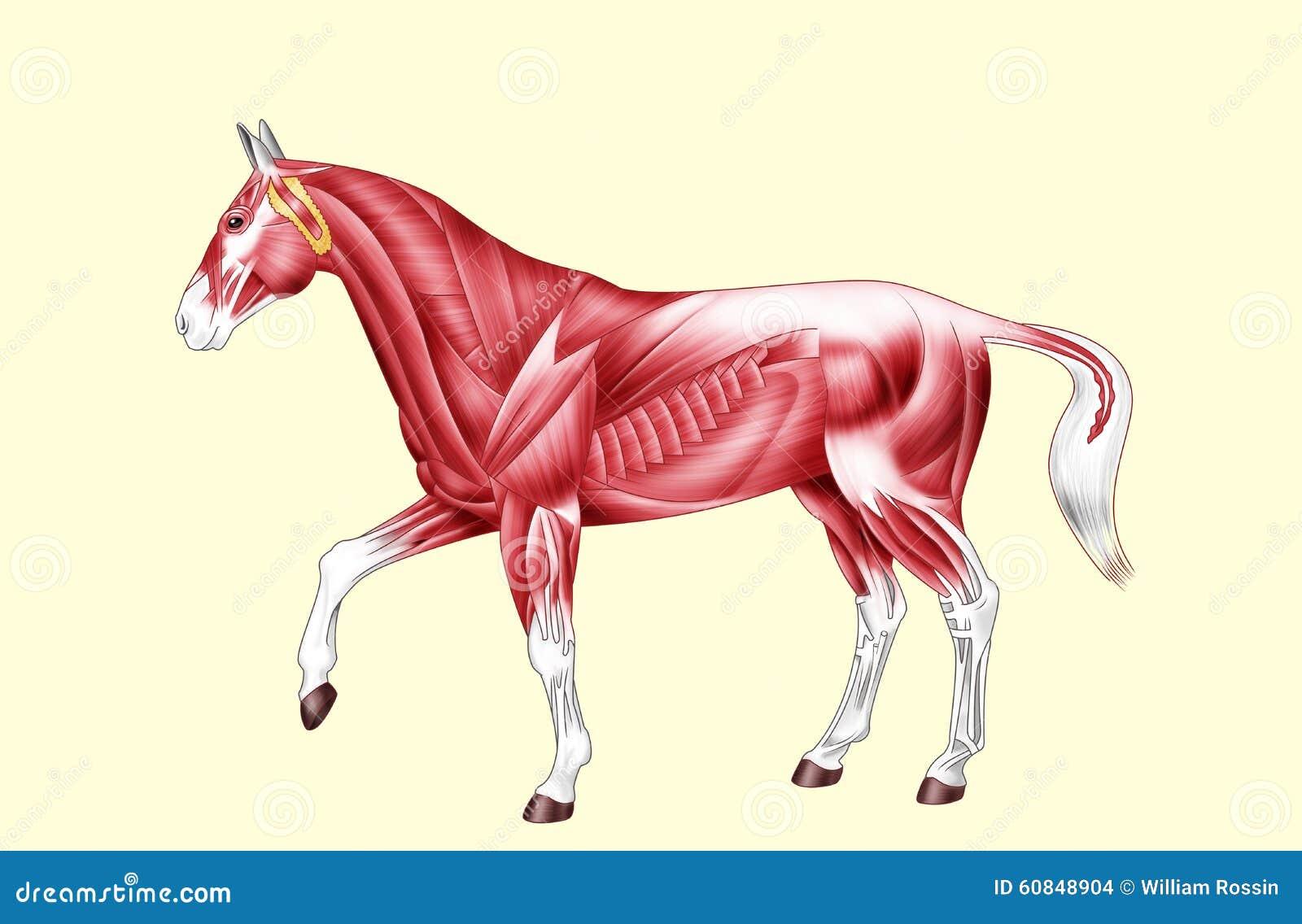 Anatomía Del Caballo - Músculos - Ningún Texto Stock de ilustración ...