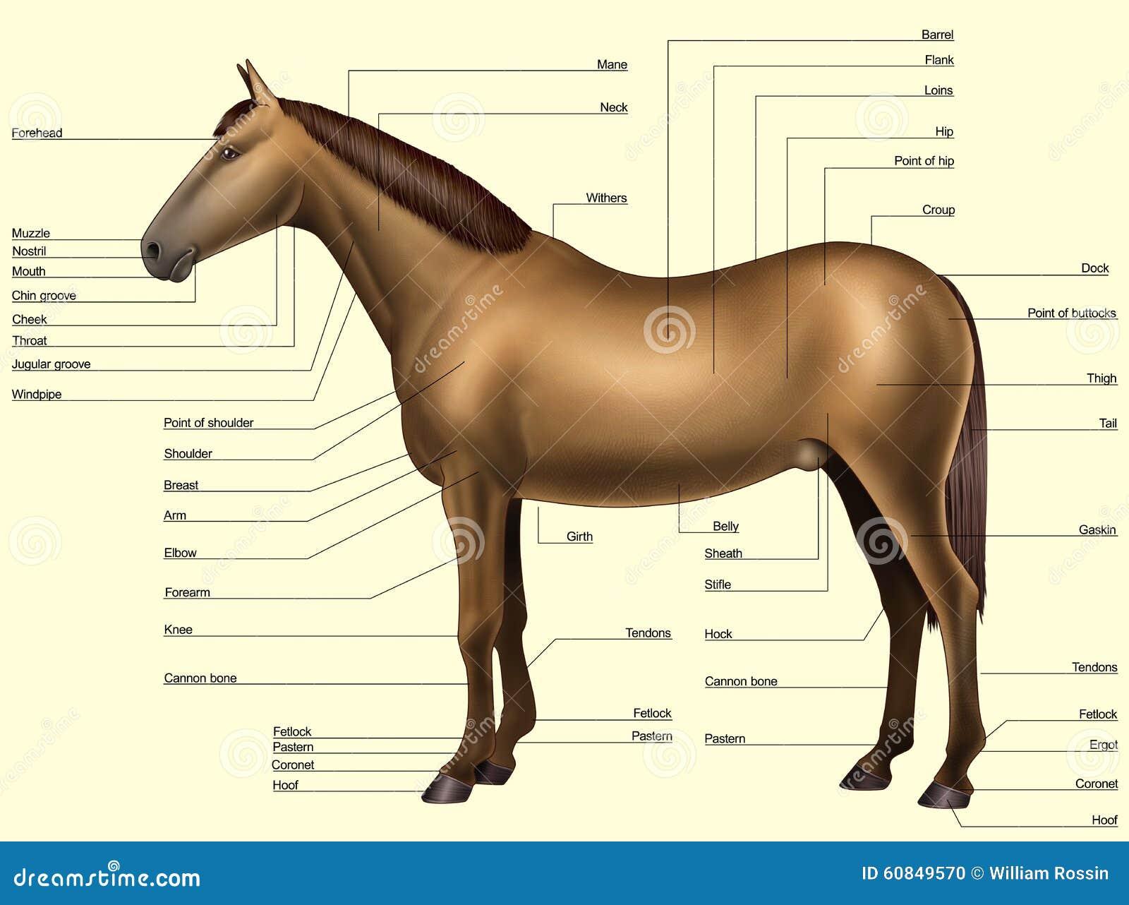 Anatomía Del Caballo - Partes Del Cuerpo Stock de ilustración ...