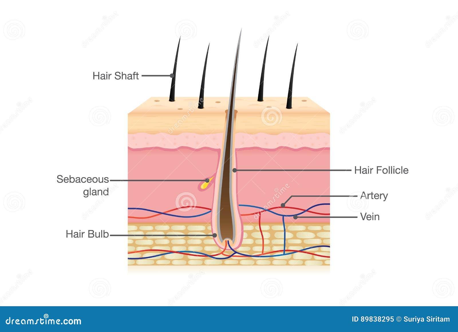 Anatomía del cabello humano en aislado