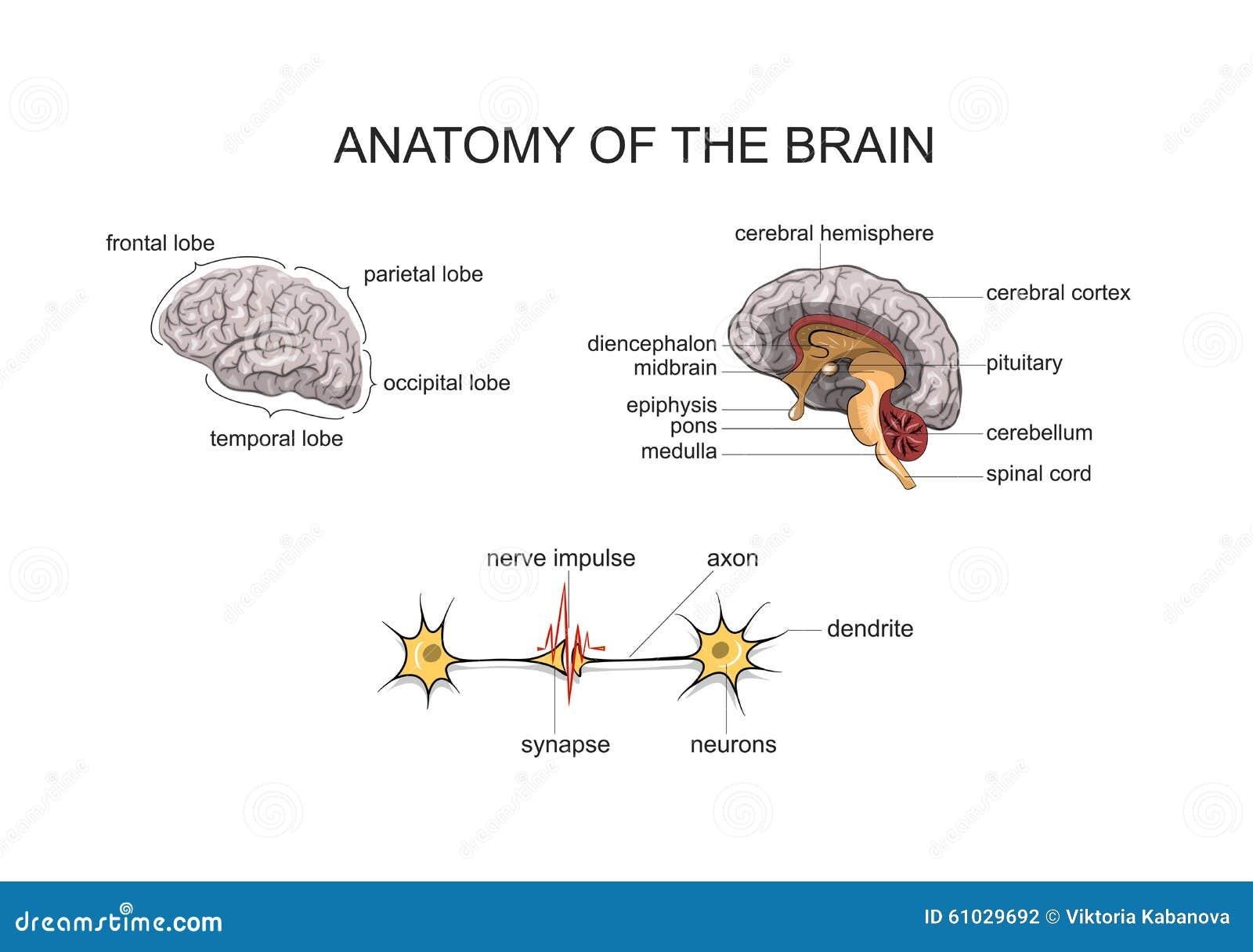Anatomía del cerebro ilustración del vector. Ilustración de nervio ...
