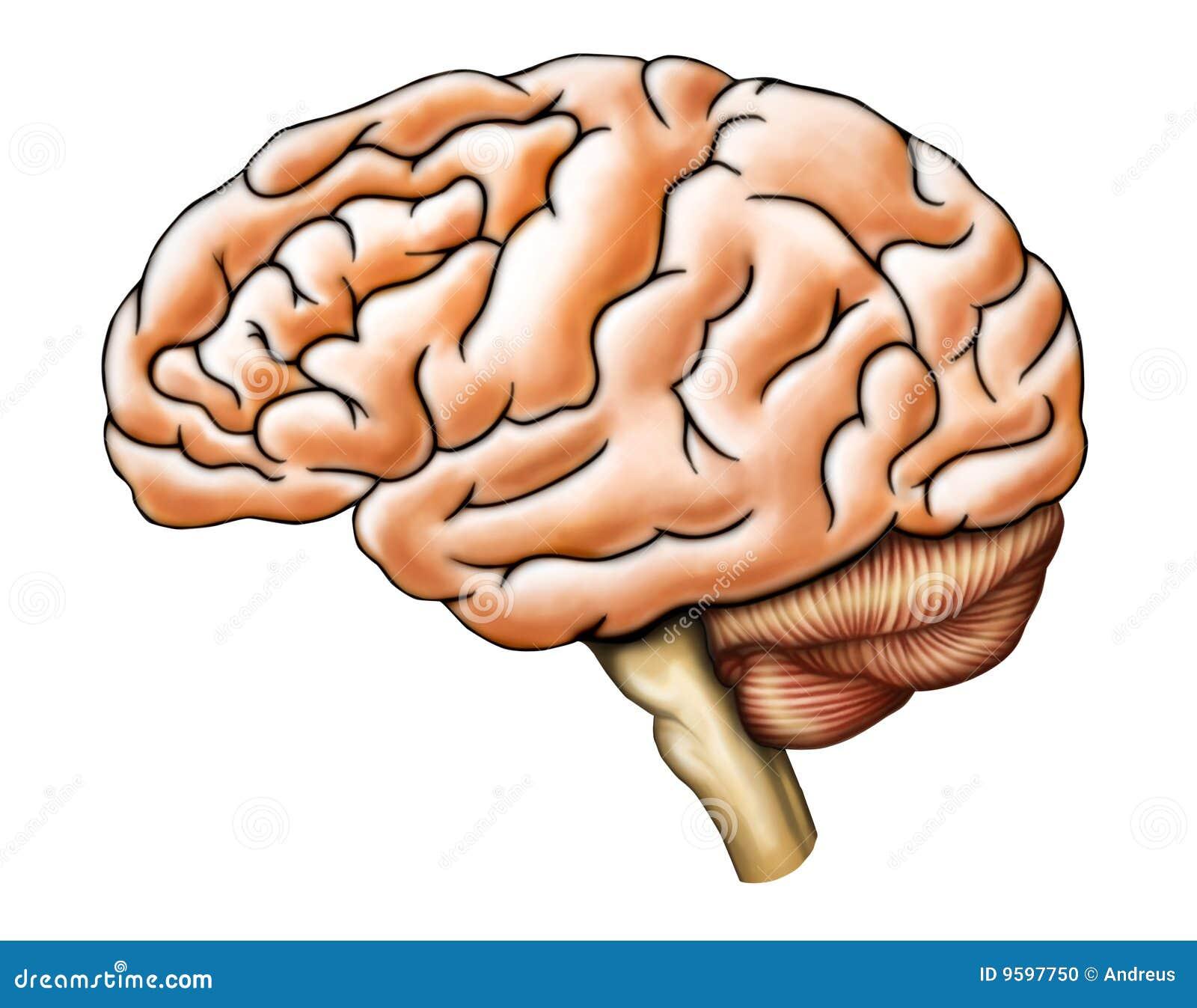 Anatomía del cerebro stock de ilustración. Ilustración de ...
