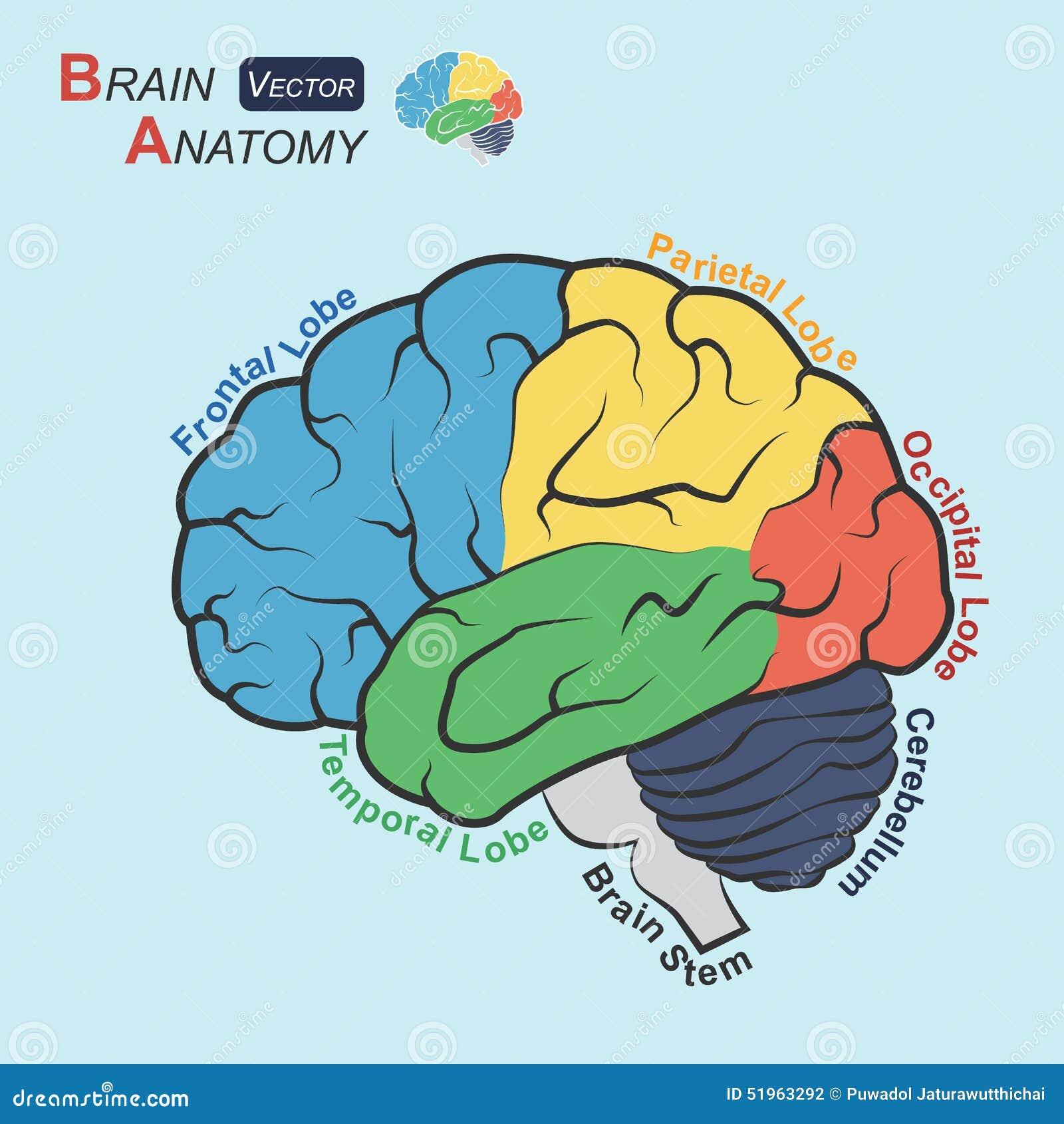 Lujoso Anatomía Funcional Del Cerebro Bandera - Anatomía de Las ...