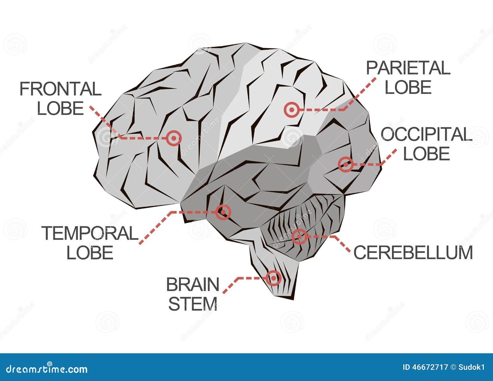 Anatomía Del Cerebro En Monocromo Stock de ilustración - Ilustración ...