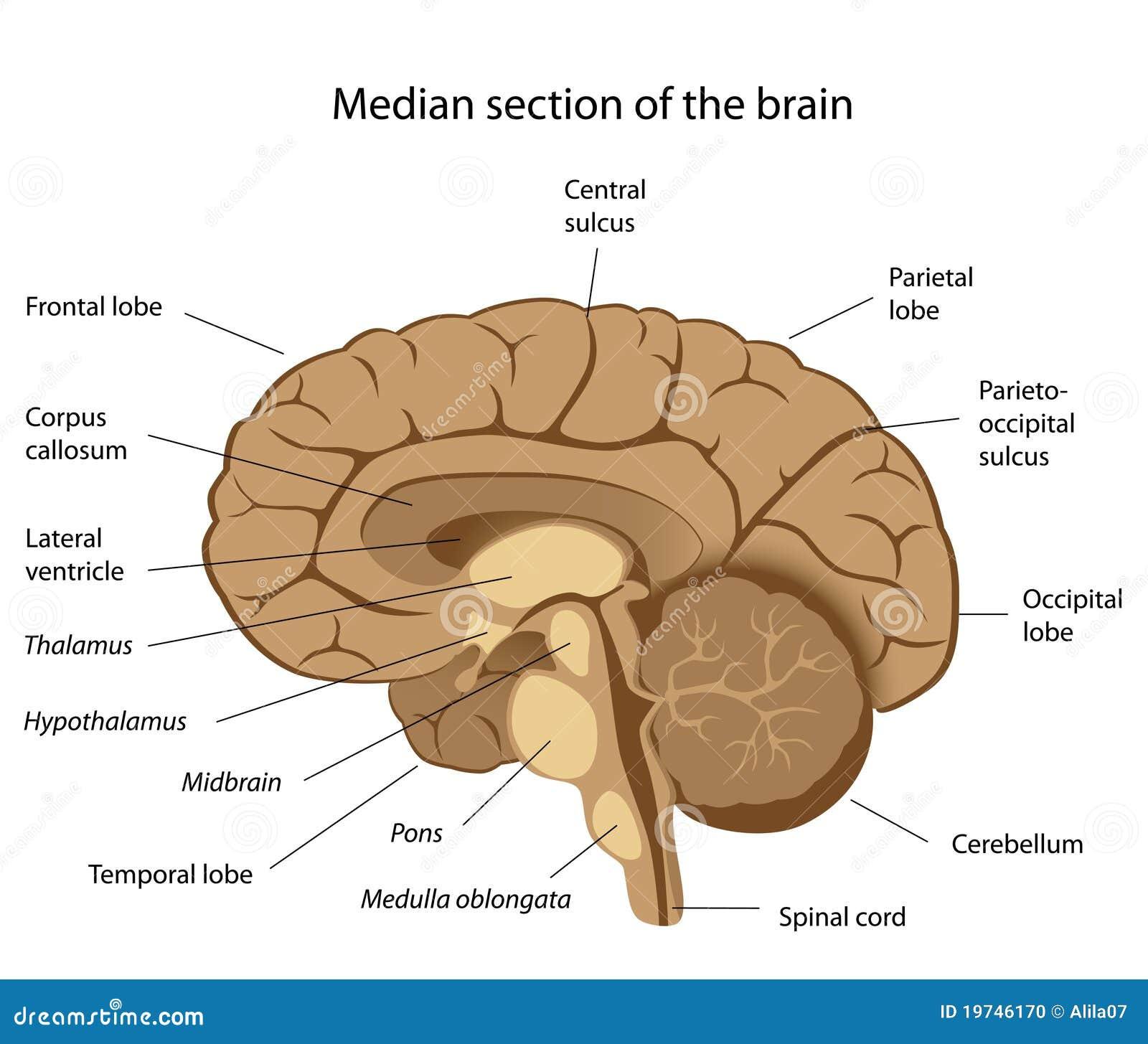 Anatomía Del Cerebro Humano Ilustración del Vector - Ilustración de ...