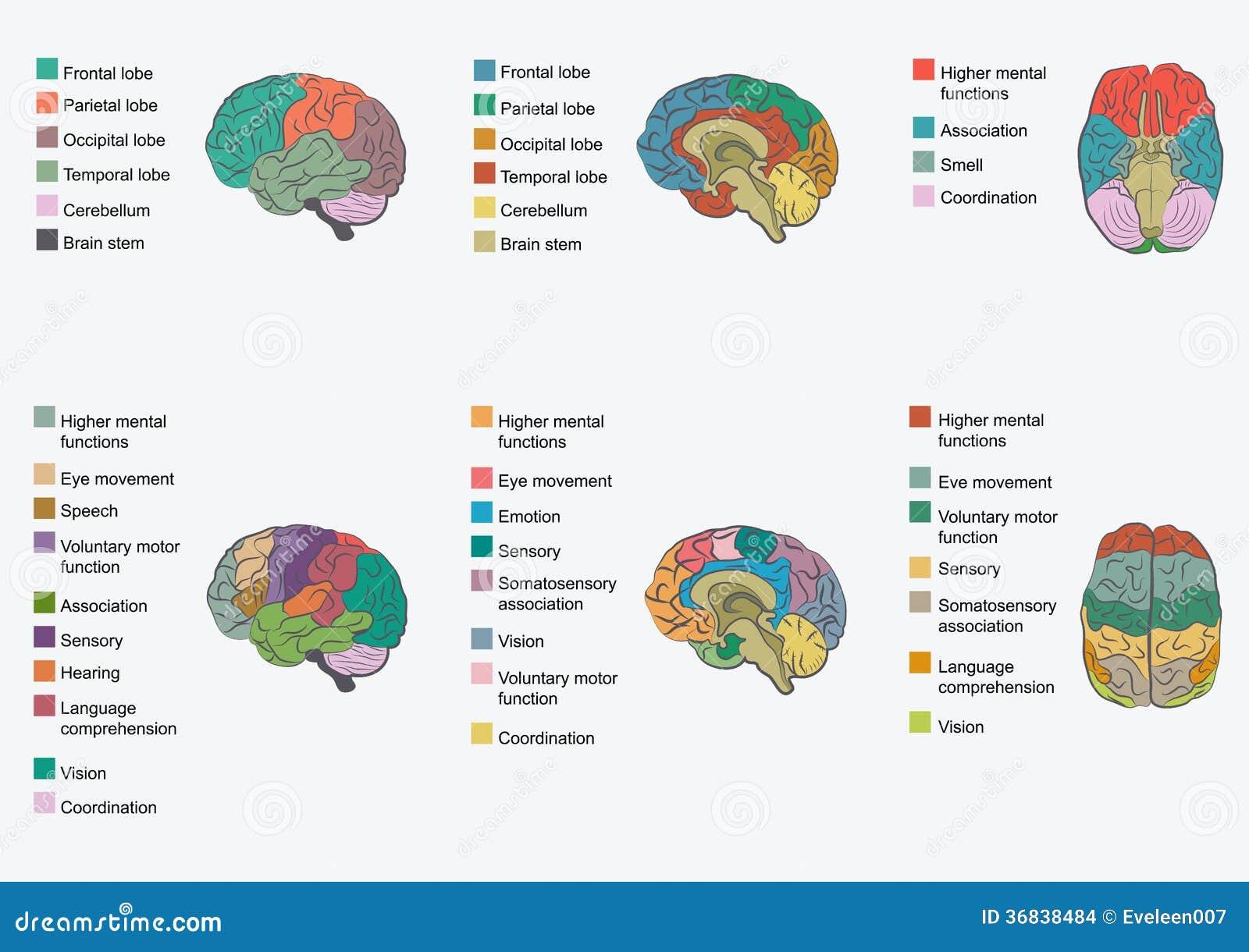 Anatomía Del Cerebro Humano, Ilustración del Vector - Ilustración de ...