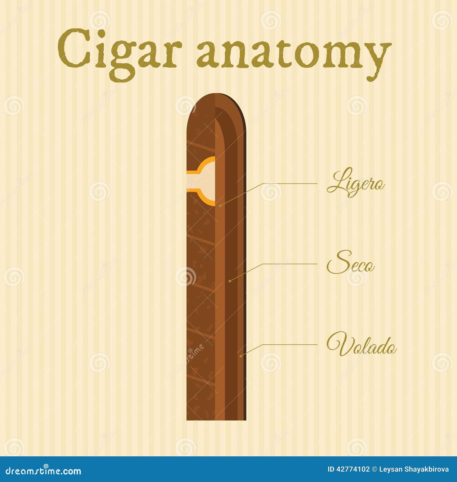 Anatomía del cigarro ilustración del vector. Ilustración de latino ...