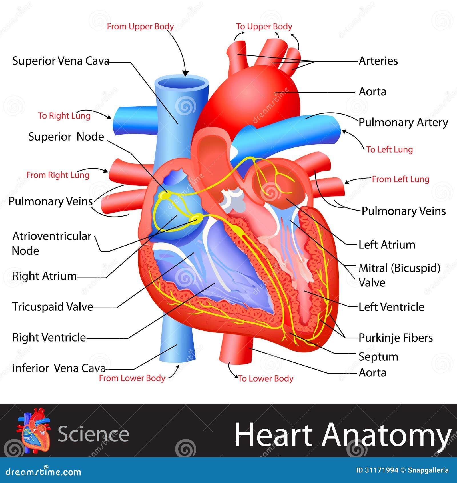 Increíble La Anatomía Del Corazón Sencillo Inspiración - Imágenes de ...