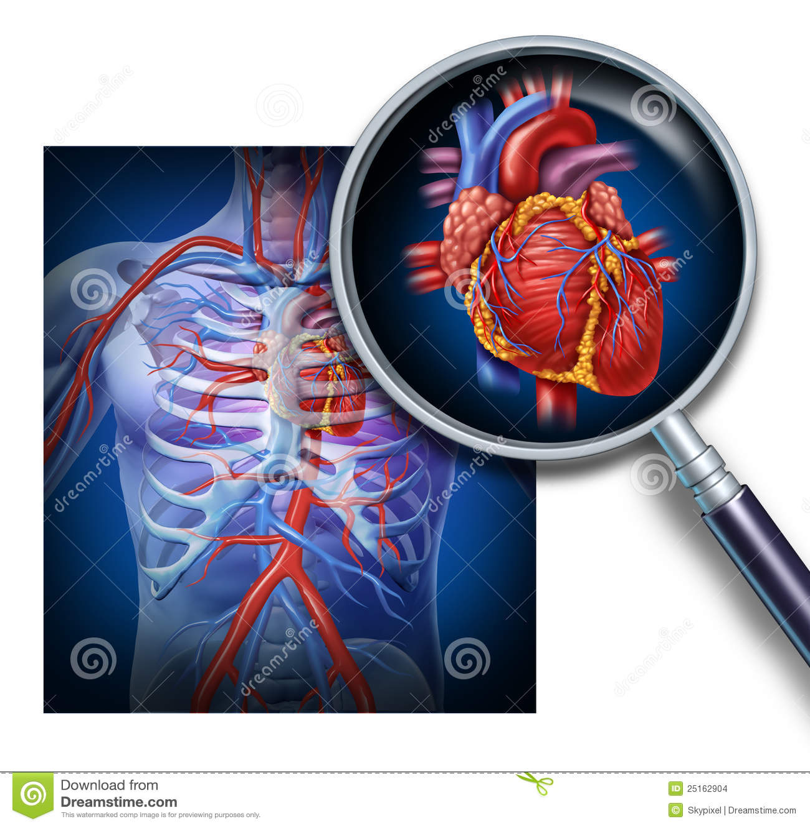 Anatom a del coraz n humano for Fotos del corazon