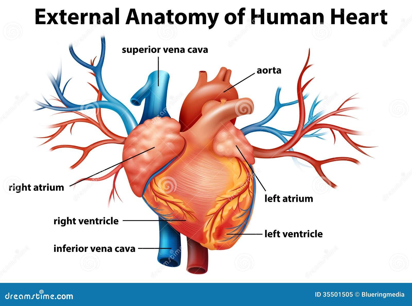 Anatomía Del Corazón Humano Ilustración del Vector - Ilustración de ...