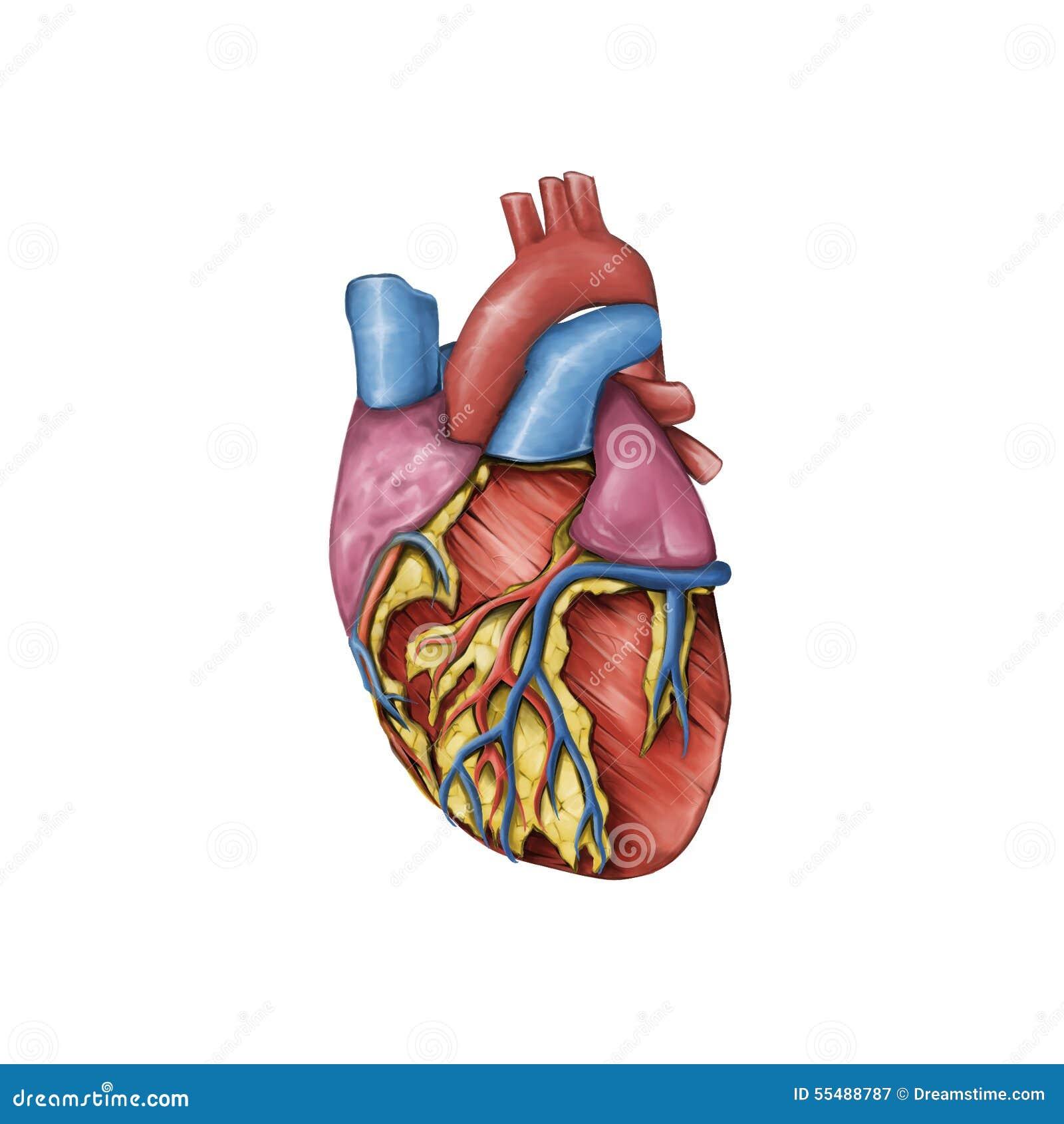 Anatomía Del Corazón Humano Stock de ilustración - Ilustración de ...