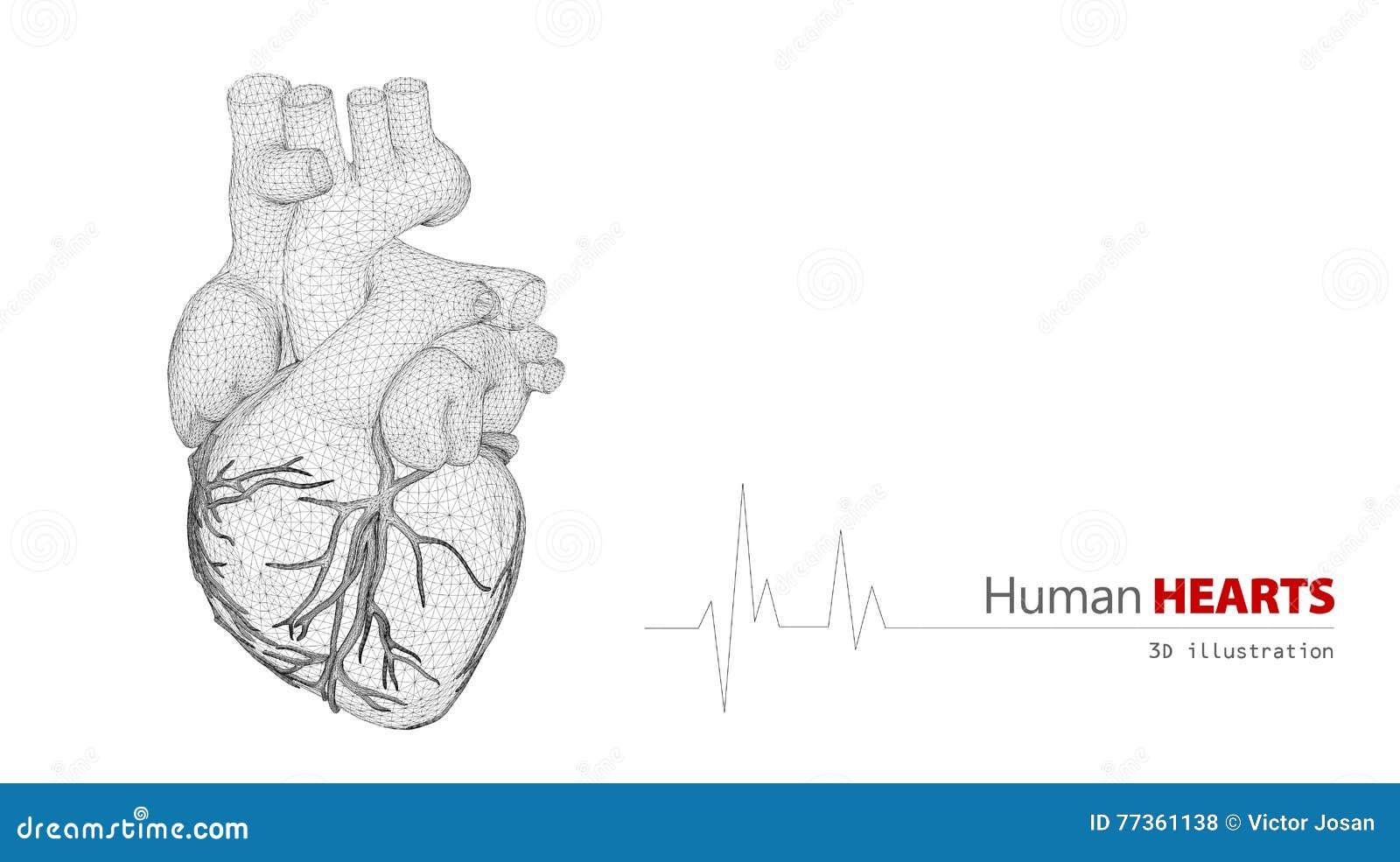 Anatomía Del Corazón Humano En Un Fondo Blanco Stock de ilustración ...