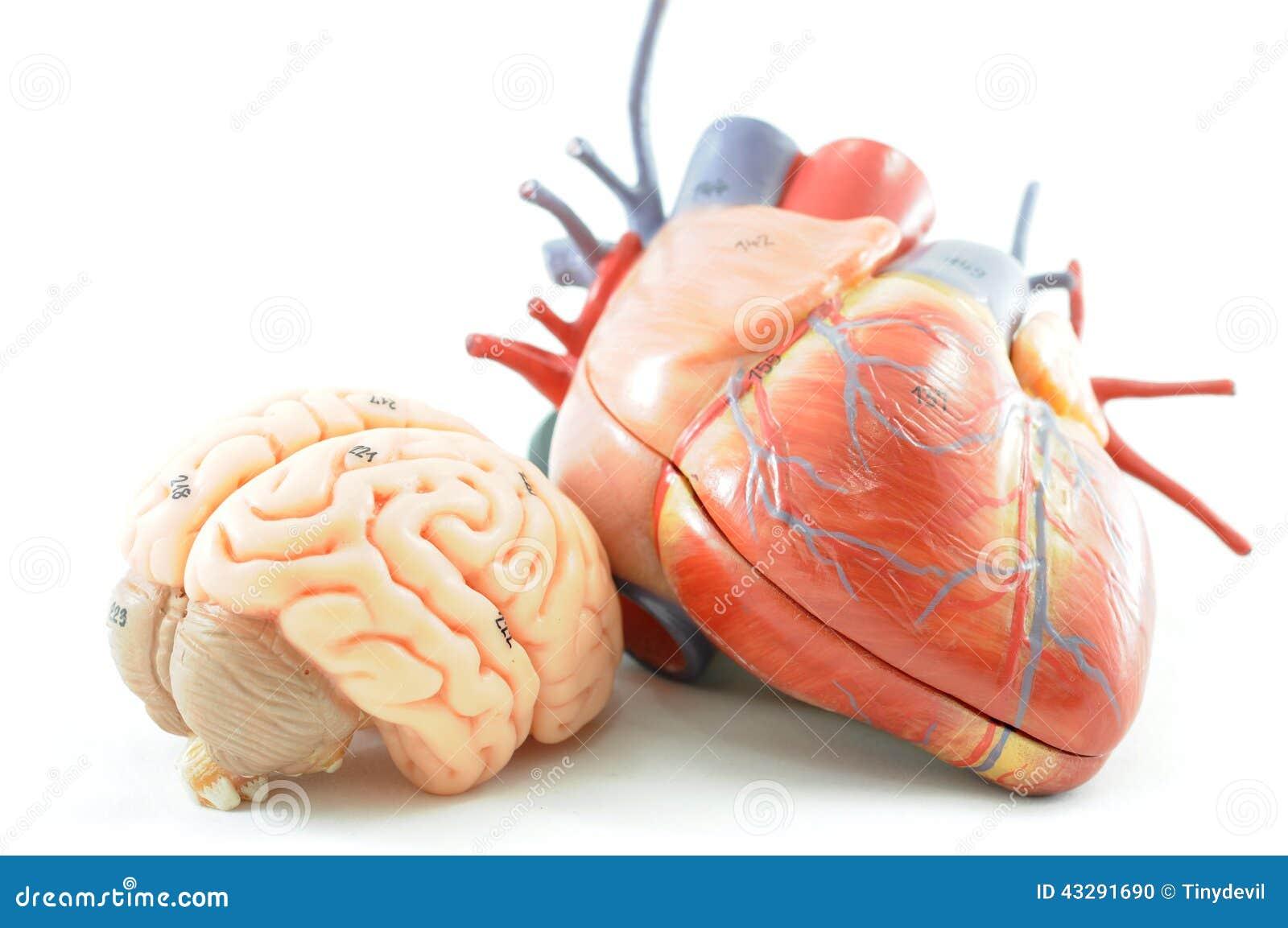 Contemporáneo La Anatomía Del Corazón Ovejas Imágenes - Imágenes de ...