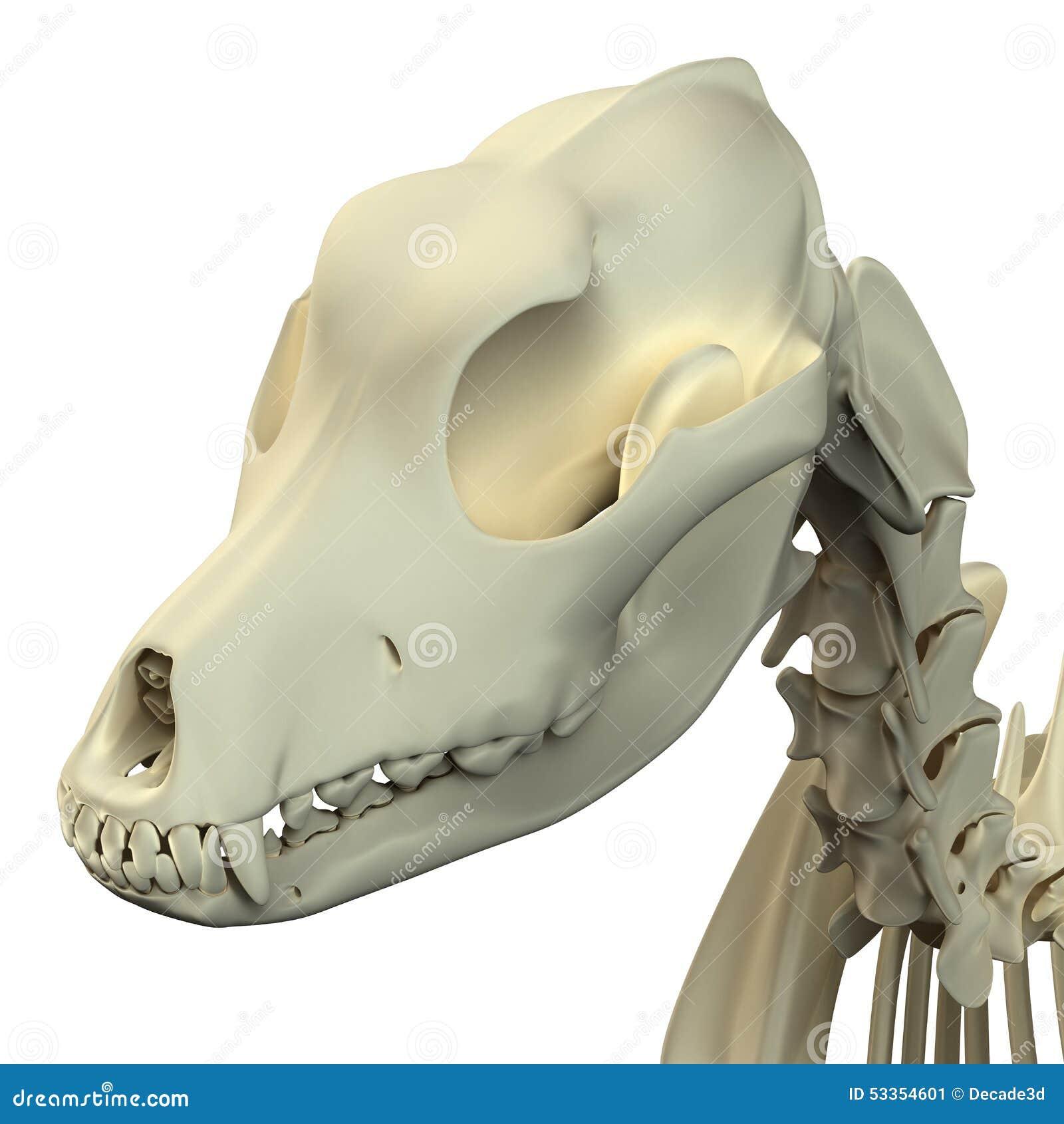 Anatomía Del Cráneo Del Perro - Anatomía De Un Cráneo Masculino Del ...