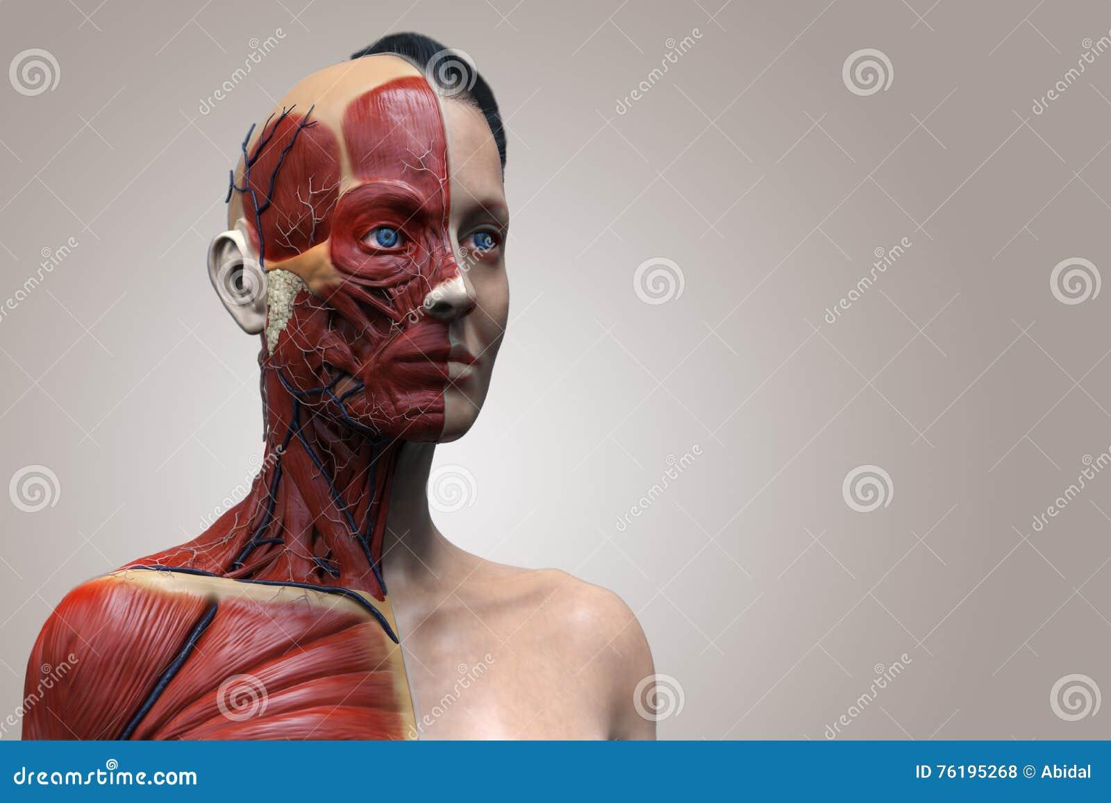Anatomía Del Cuerpo Humano De La Mujer Stock de ilustración ...