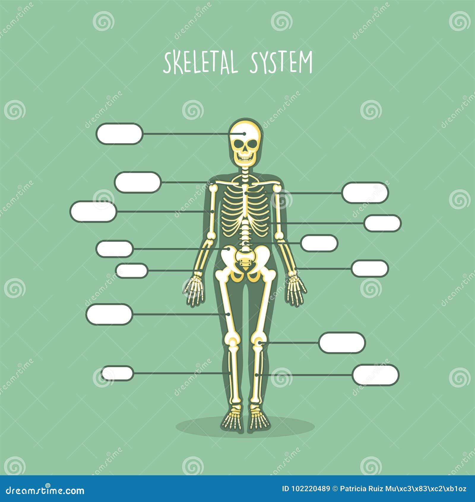 Anatomía Del Cuerpo Humano De Skeletom Ilustración del Vector ...