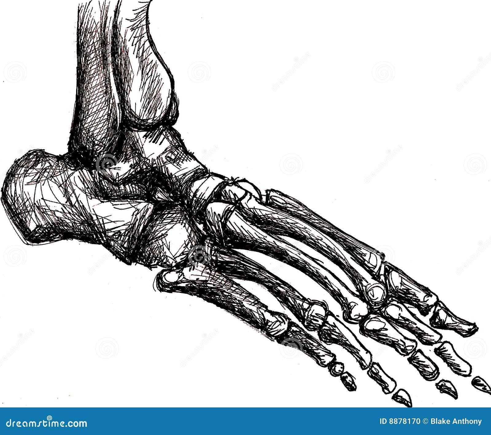 Anatomía Del Esqueleto Del Pie Stock de ilustración - Ilustración de ...
