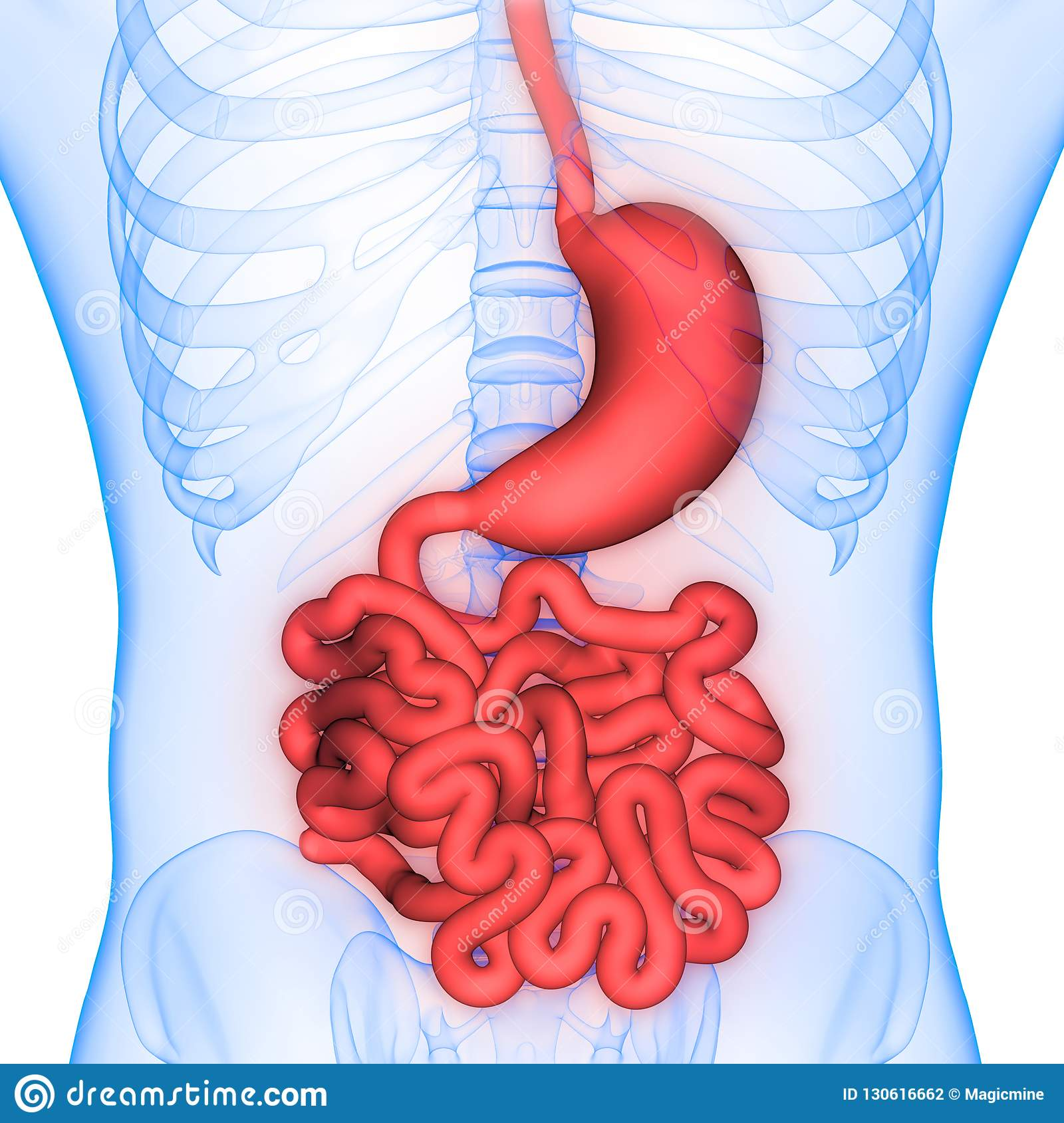 intestino delgado rojo