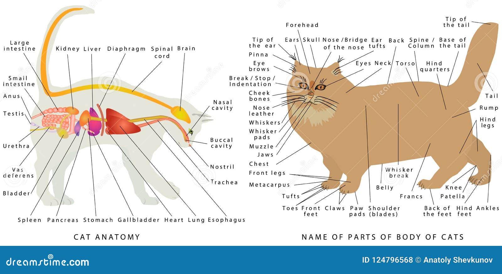 Anatomía del gato ilustración del vector. Ilustración de sistema ...