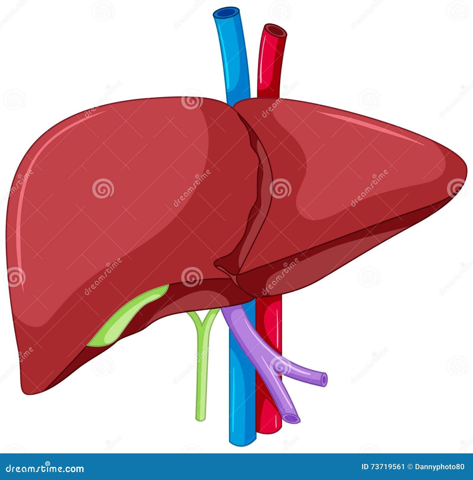 Anatomía Del Hígado Del Cuerpo Humano Ilustración del Vector ...