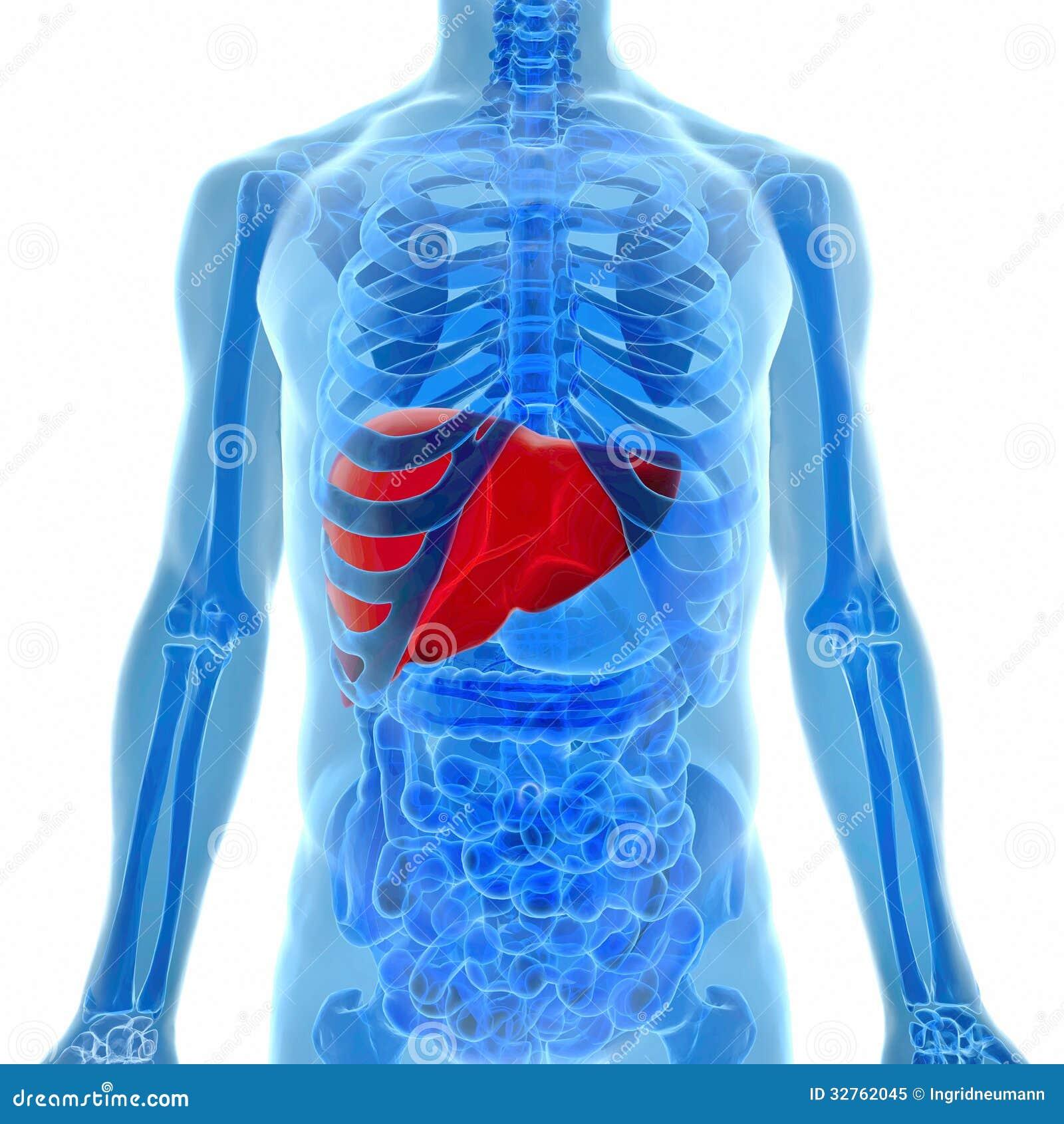 Anatomía Del Hígado Humano En La Opinión De La Radiografía Stock de ...