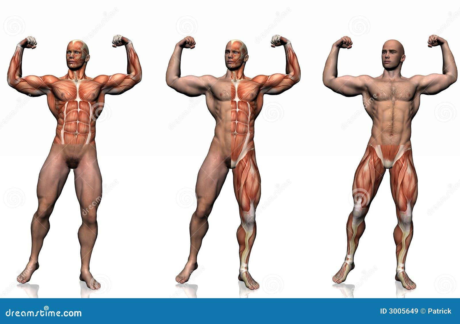 Anatomía del hombre. stock de ilustración. Ilustración de humano ...