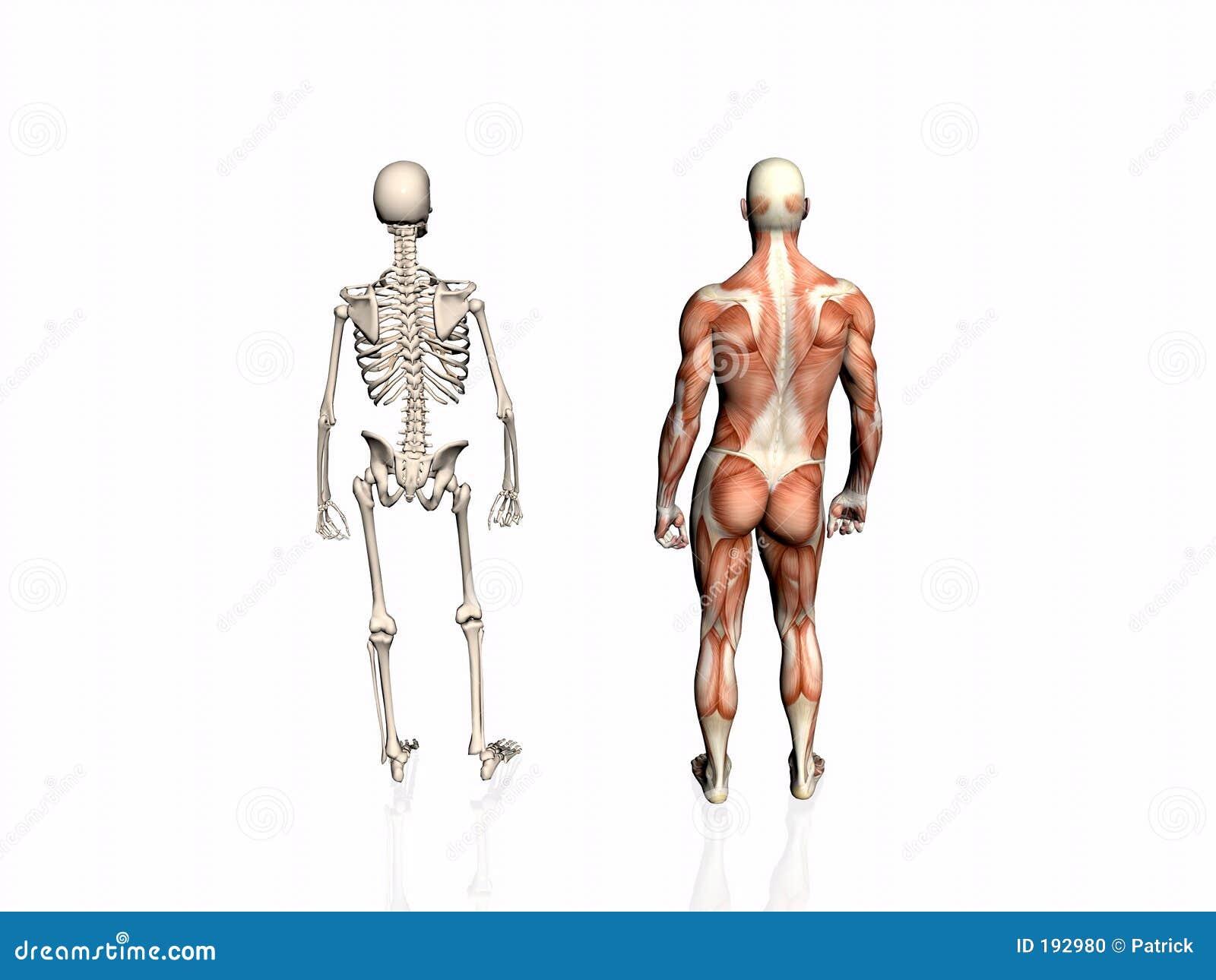 Anatomía del hombre con el esqueleto.