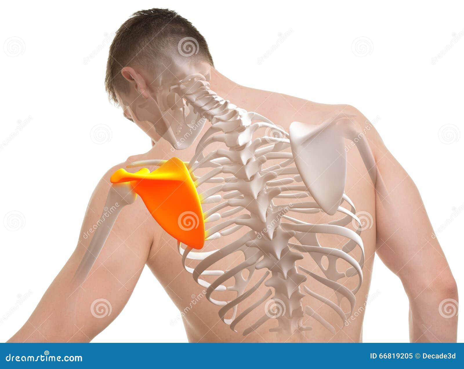 Anatomía Del Hombre Del Omóplato Aislada En Blanco Imagen de archivo ...