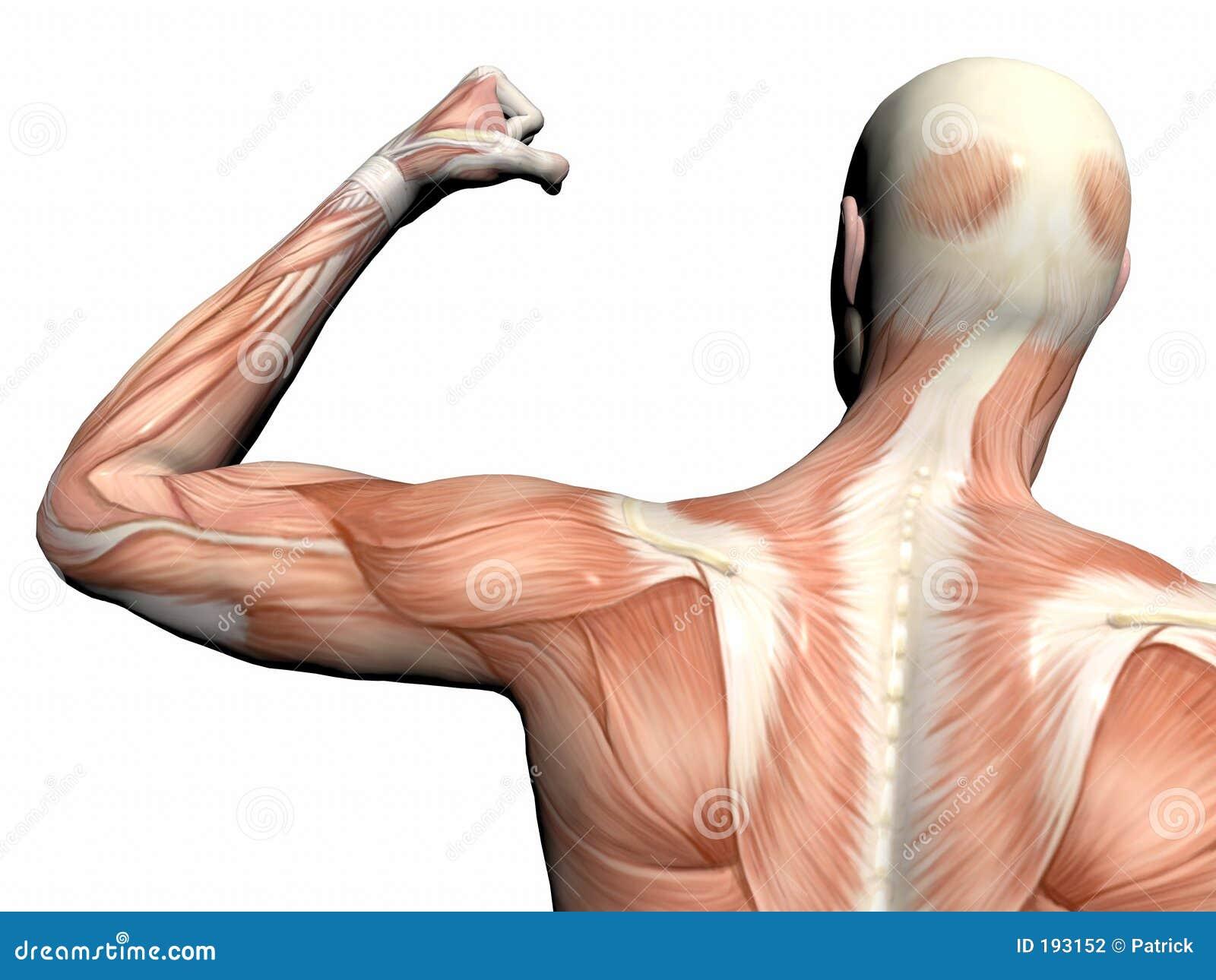 Anatomía del hombre, hombre muscular.