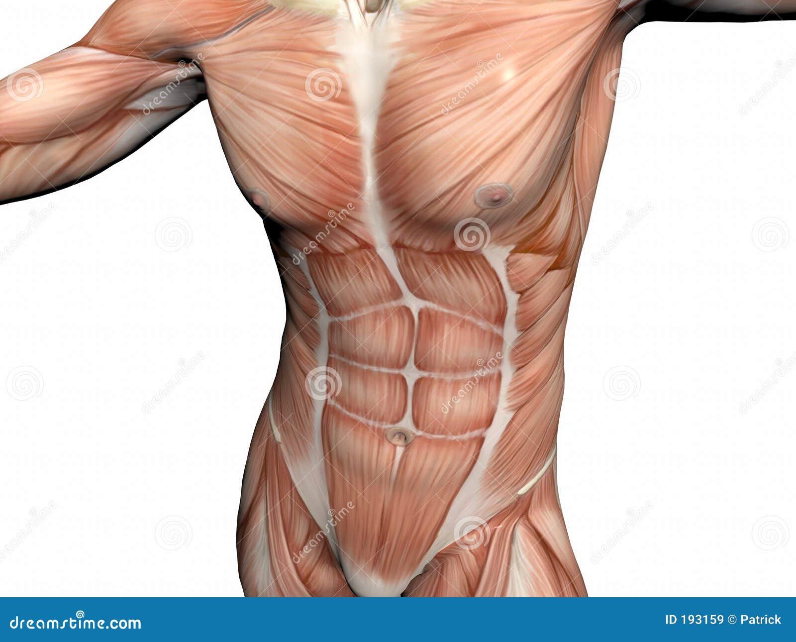 Anatomía del hombre, hombre muscular