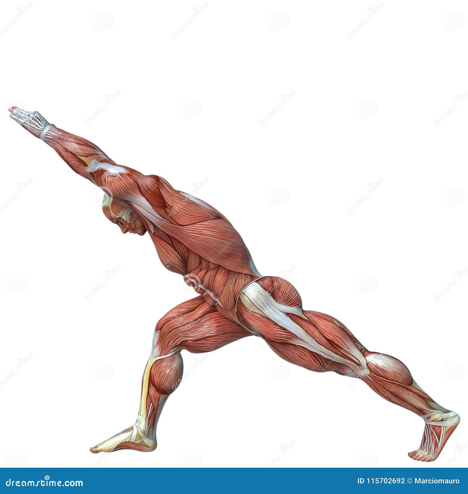 Anatomía Del Hombre Del Músculo En Un Fondo Blanco Stock de ...