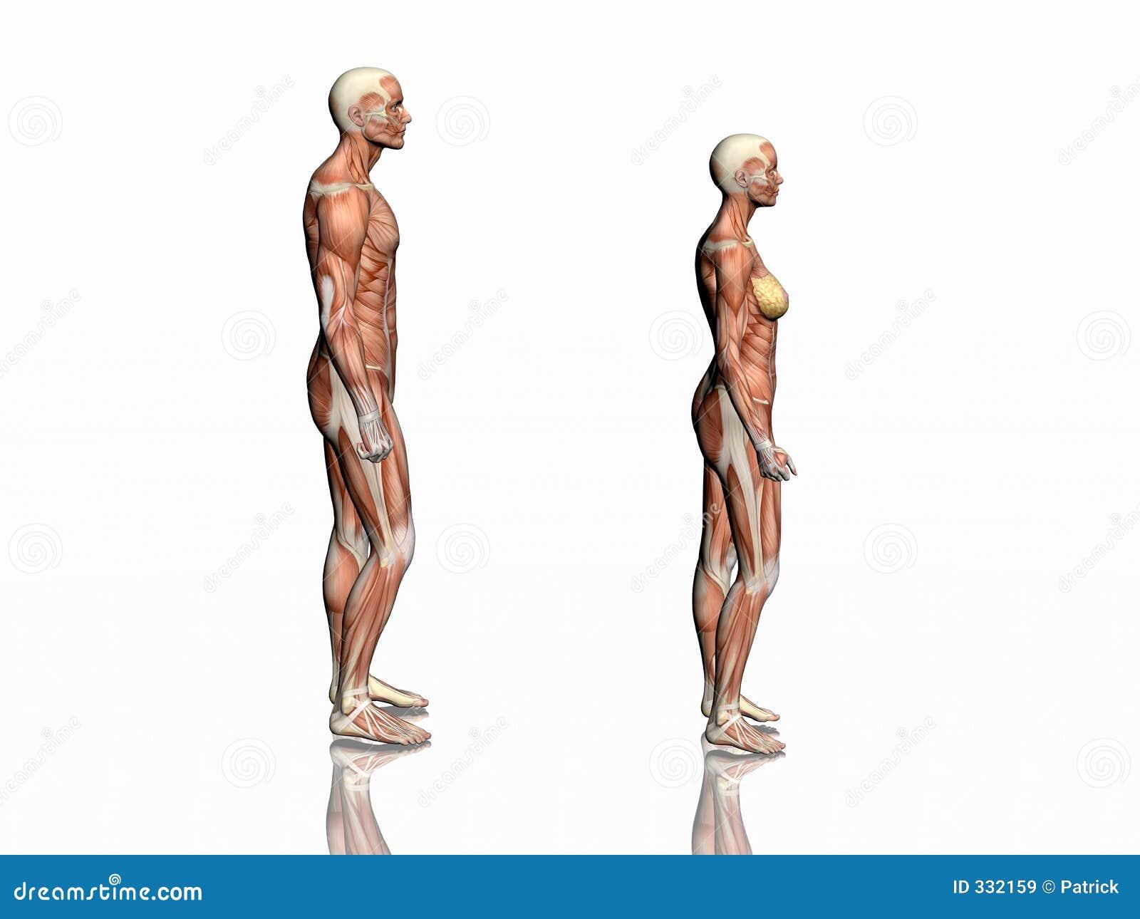 Anatomía Del Hombre Y De La Mujer. Stock de ilustración ...