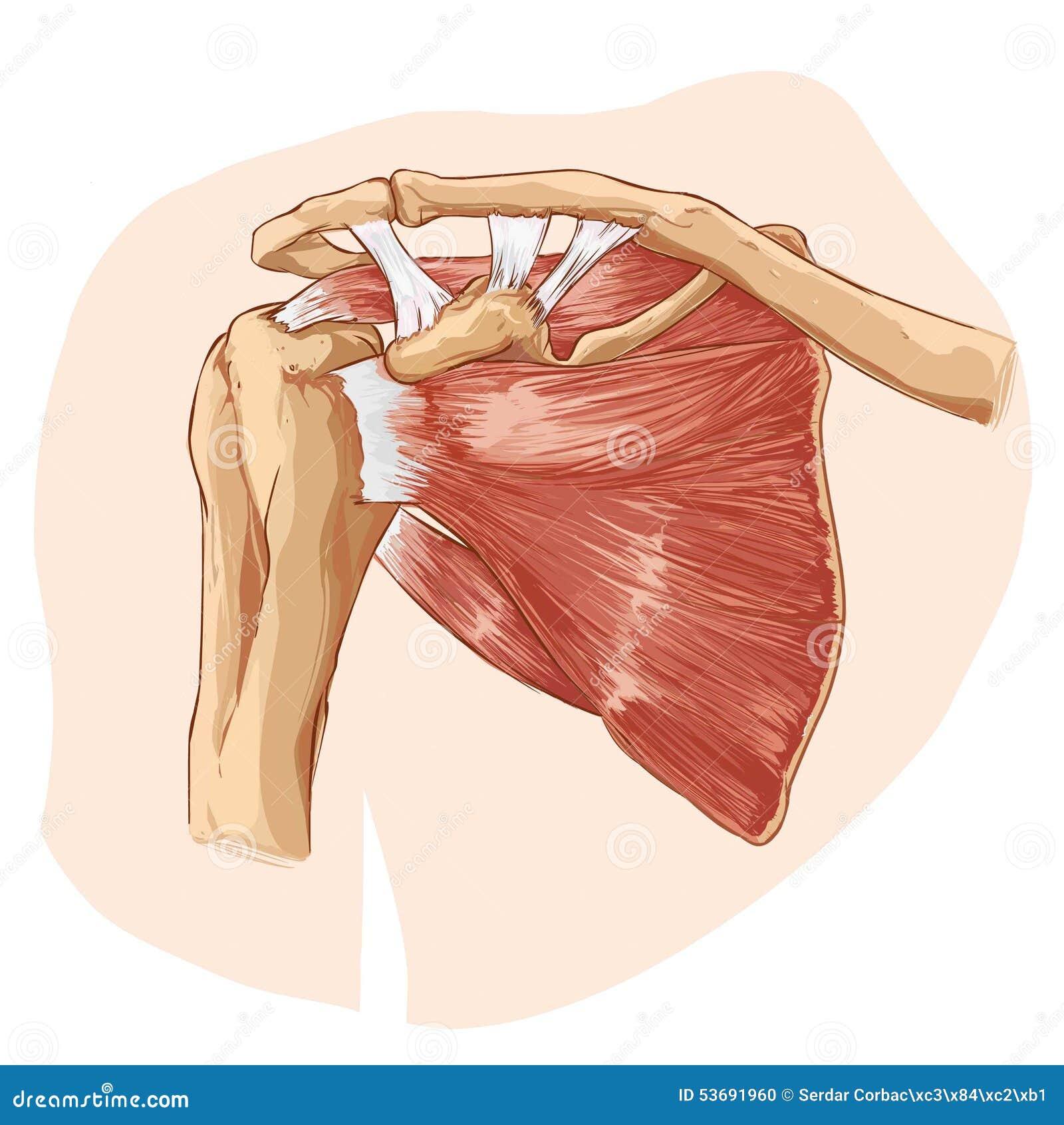 Anatomía del hombro ilustración del vector. Ilustración de medicina ...