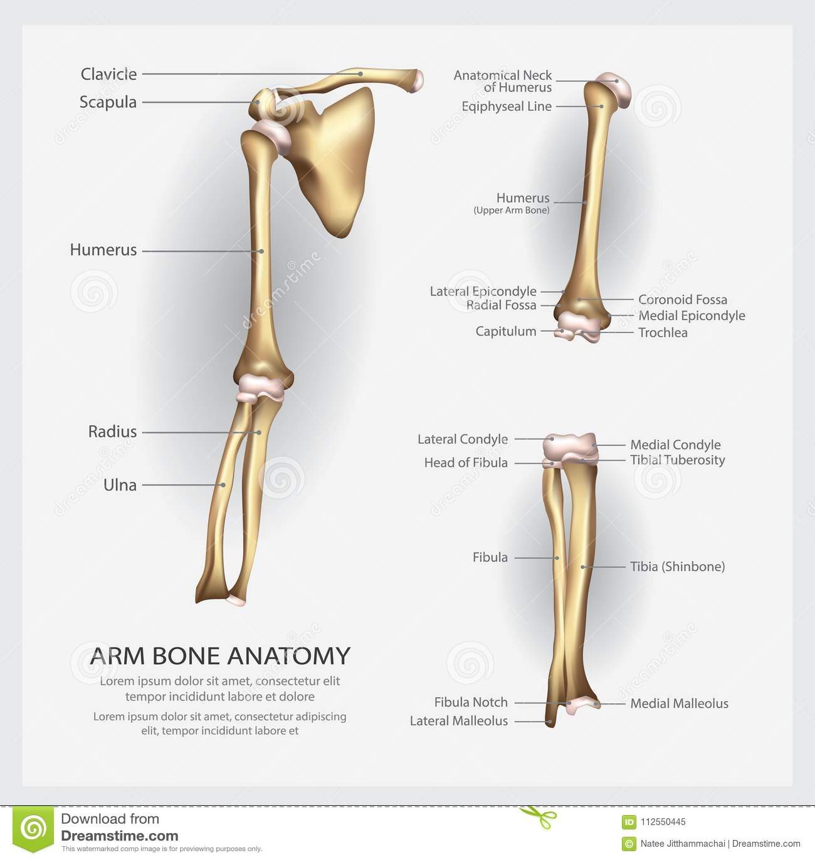 Anatomía Del Hueso De Brazo Con El Detalle Ilustración del Vector ...