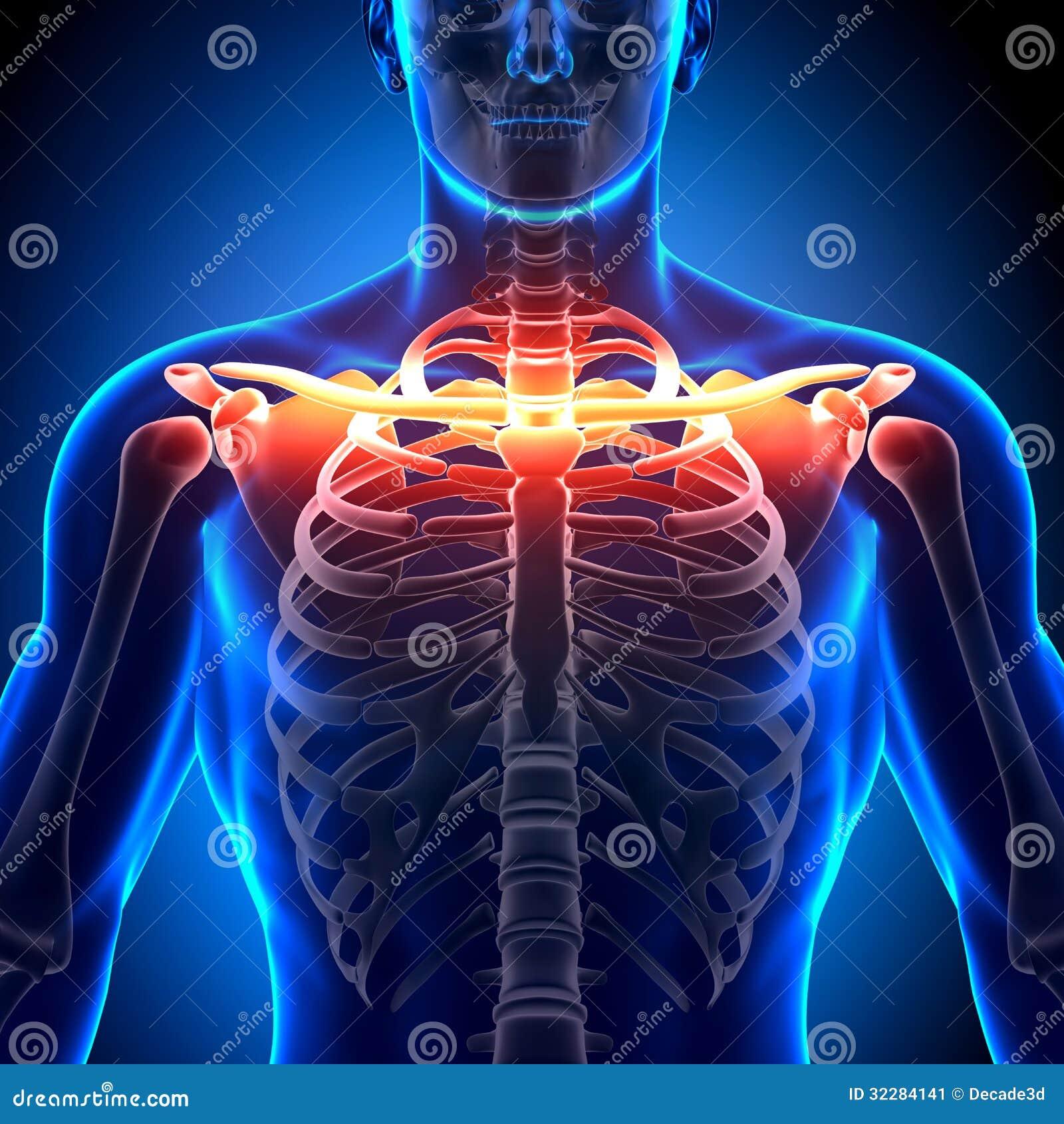 Anatomía Del Hueso De La Clavícula - Huesos De La Anatomía Imagen de ...