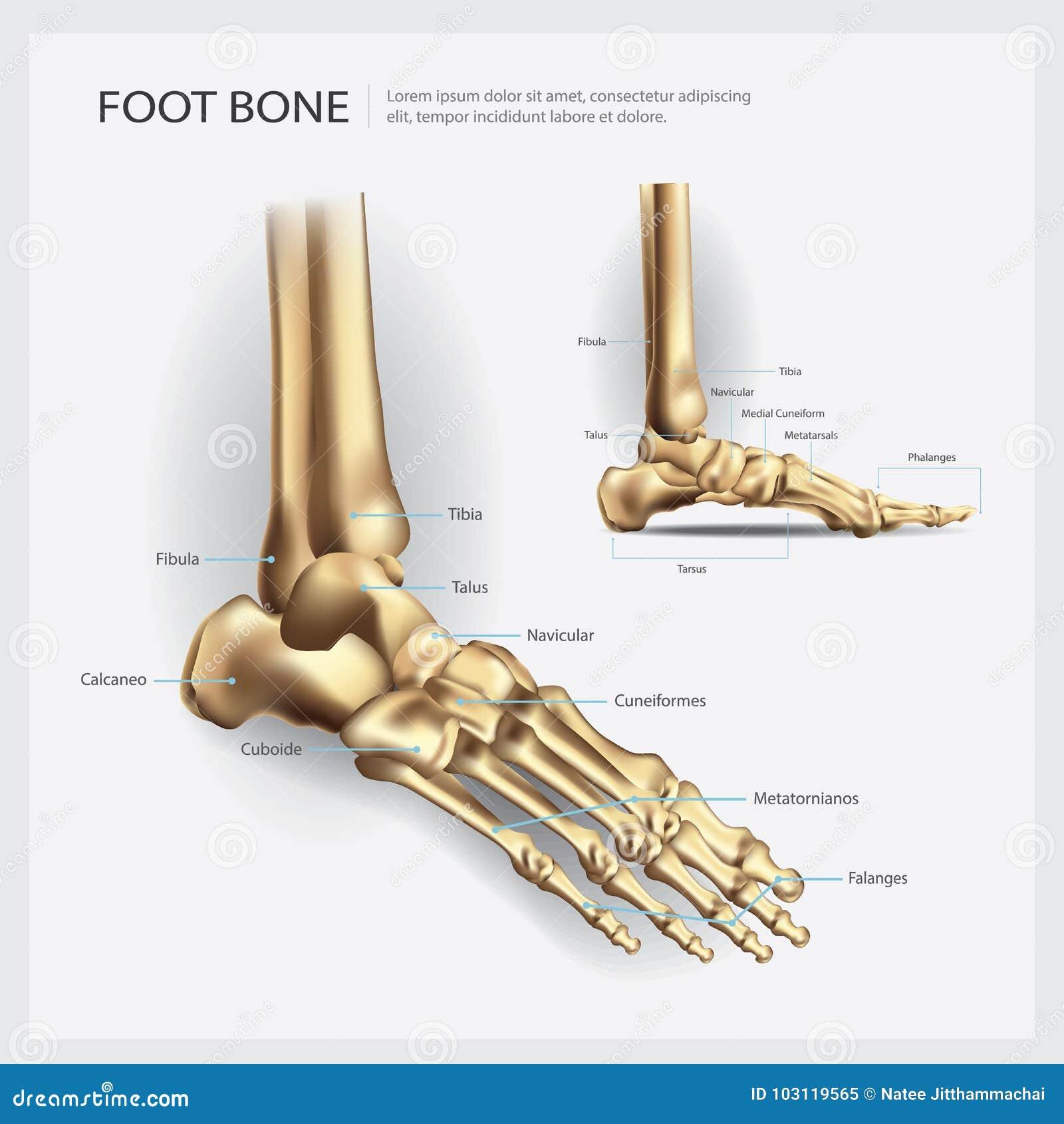 Anatomía del hueso de pie ilustración del vector. Ilustración de ...