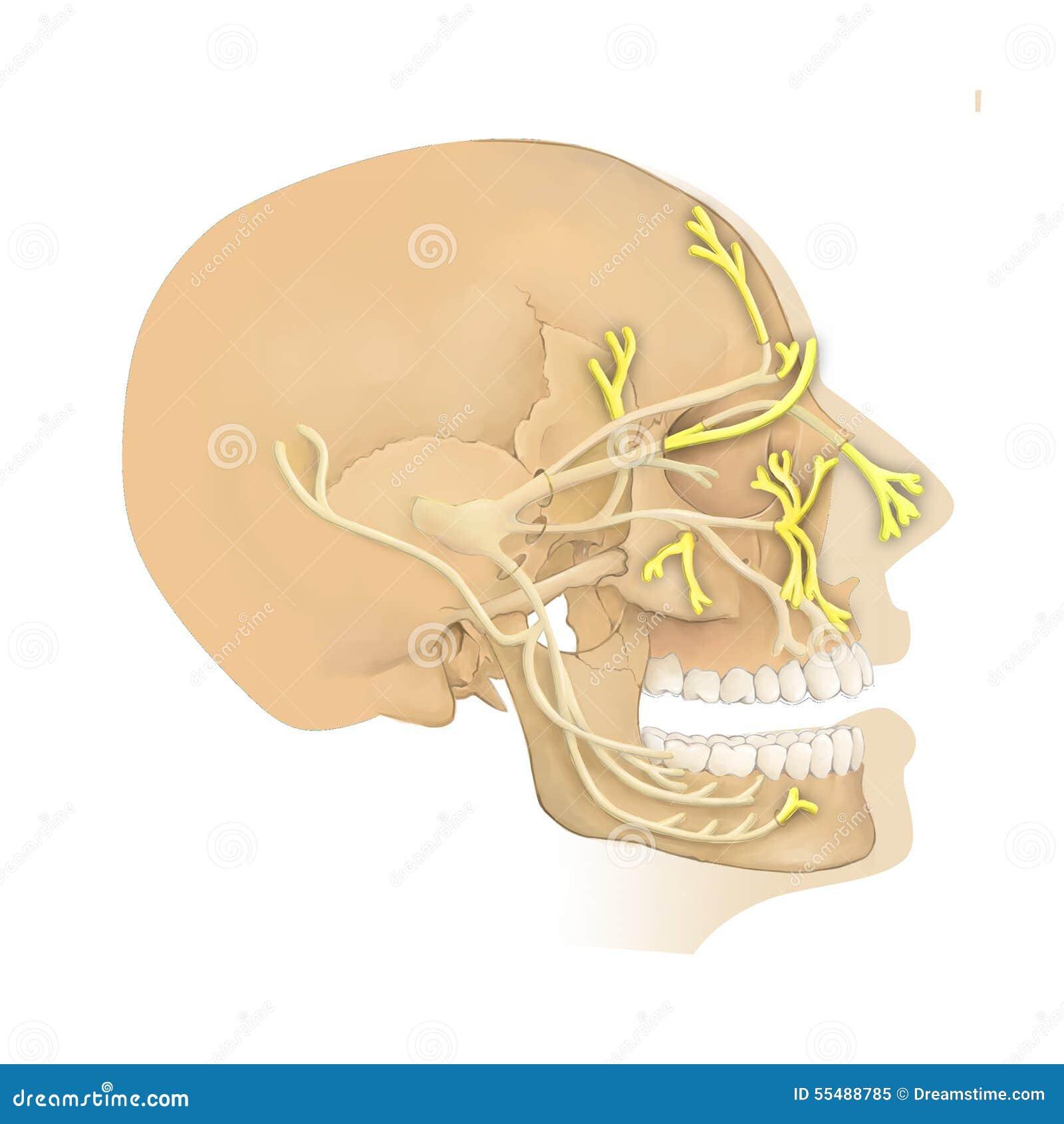 Anatomía Del Nervio De Trigeminal Stock de ilustración - Ilustración ...