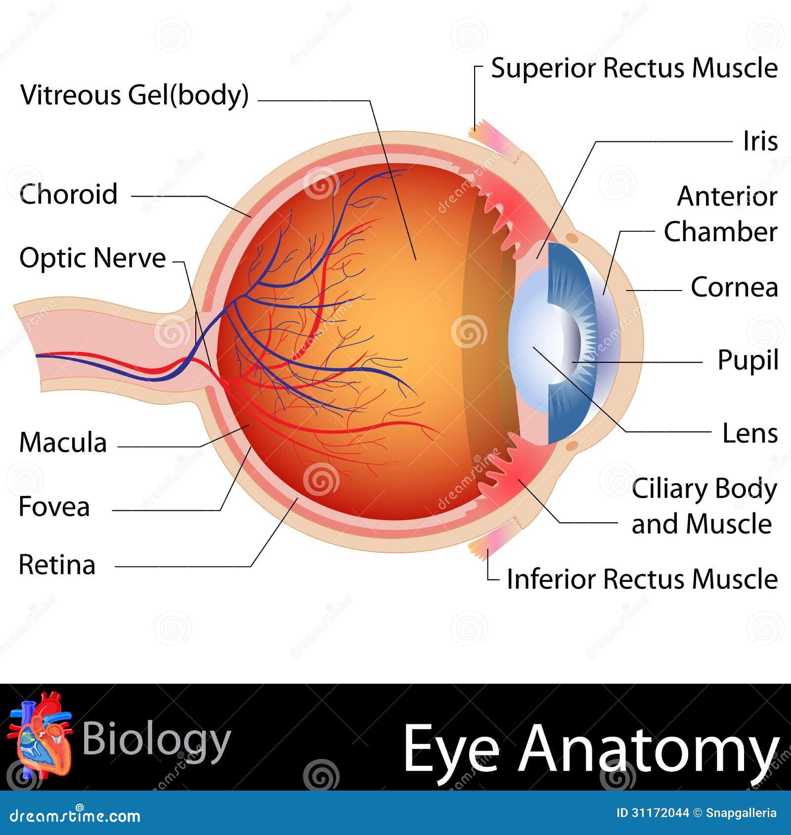 Anatomía del ojo ilustración del vector. Ilustración de salud - 31172044