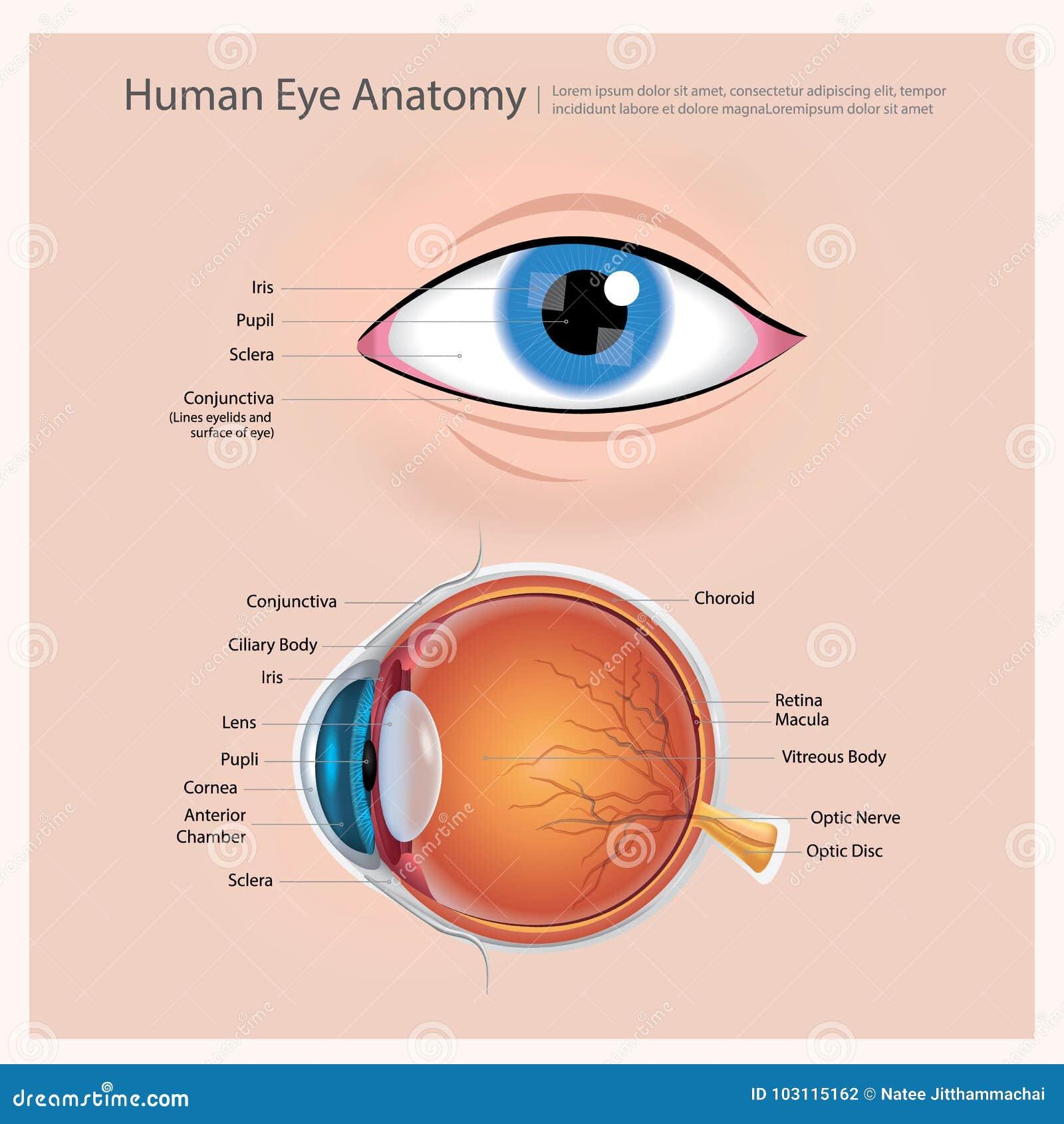 Anatomía del ojo humano ilustración del vector. Ilustración de ...