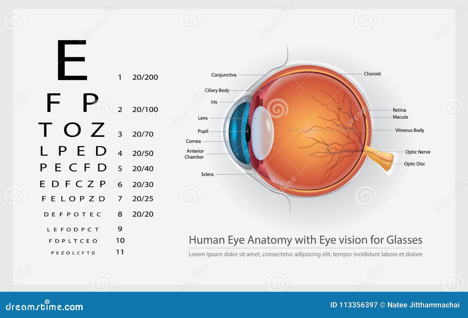 Anatomía Del Ojo Humano Con El Ojo Vision Para Los Vidrios ...