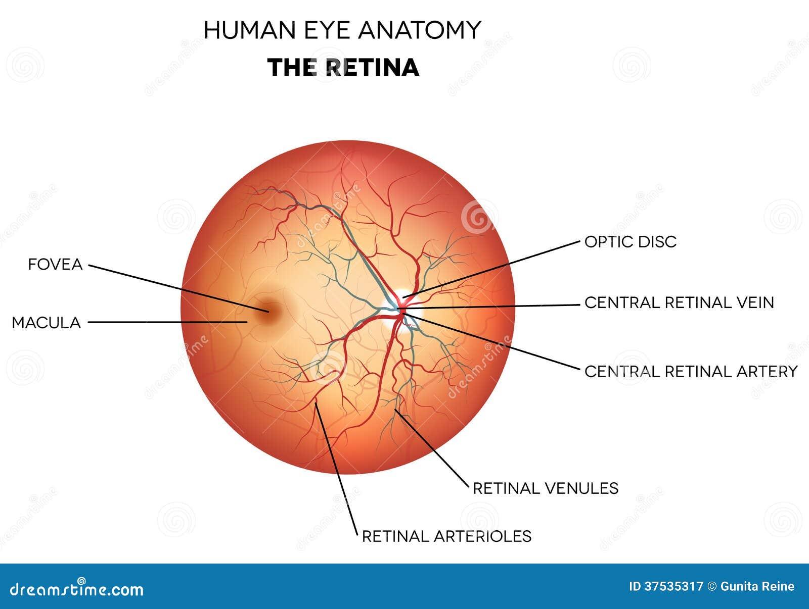 Anatomía Del Ojo Humano, Retina Ilustración del Vector - Ilustración ...