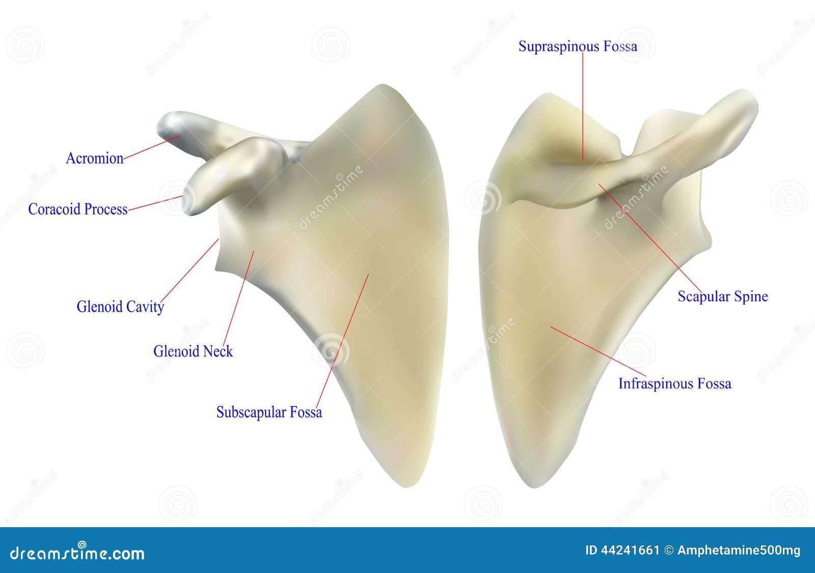 Anatomía del omóplato stock de ilustración. Ilustración de salud ...