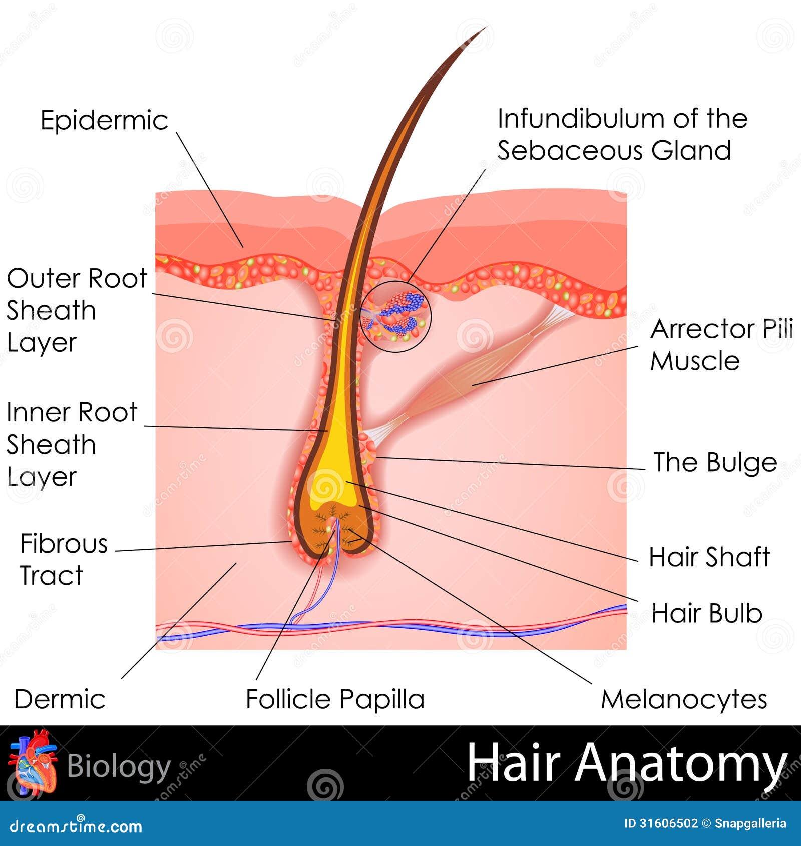 Anatomía del pelo ilustración del vector. Ilustración de músculo ...