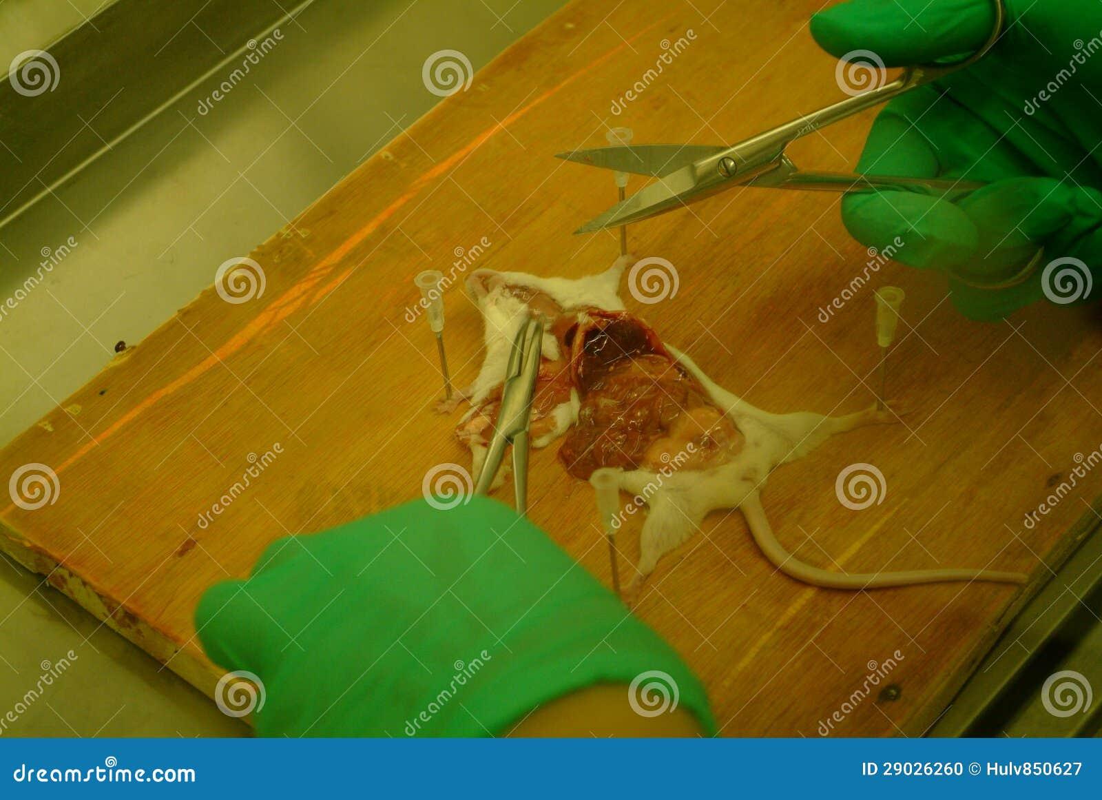 Anatomía del ratón foto de archivo. Imagen de critter - 29026260