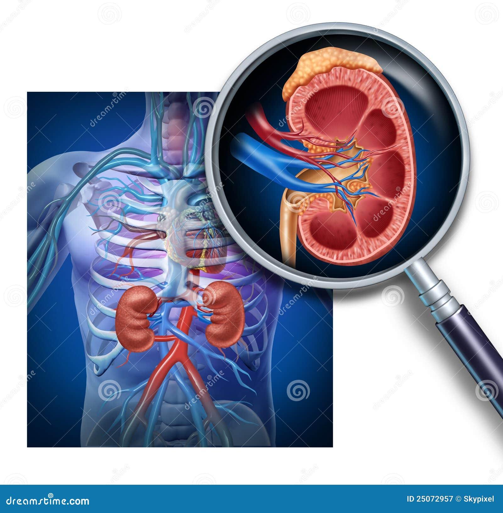 Diagrama humano del riñón stock de ilustración. Ilustración de ...